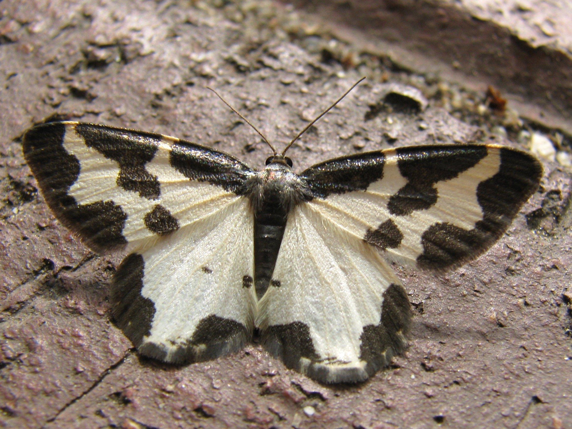 Ein Nachtfalter mit schwarz-weißem Flügelmuster.
