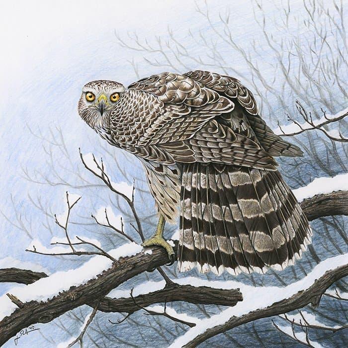 Ein Habicht plustert sich auf. Er steht auf einem schneebedeckten Ast.