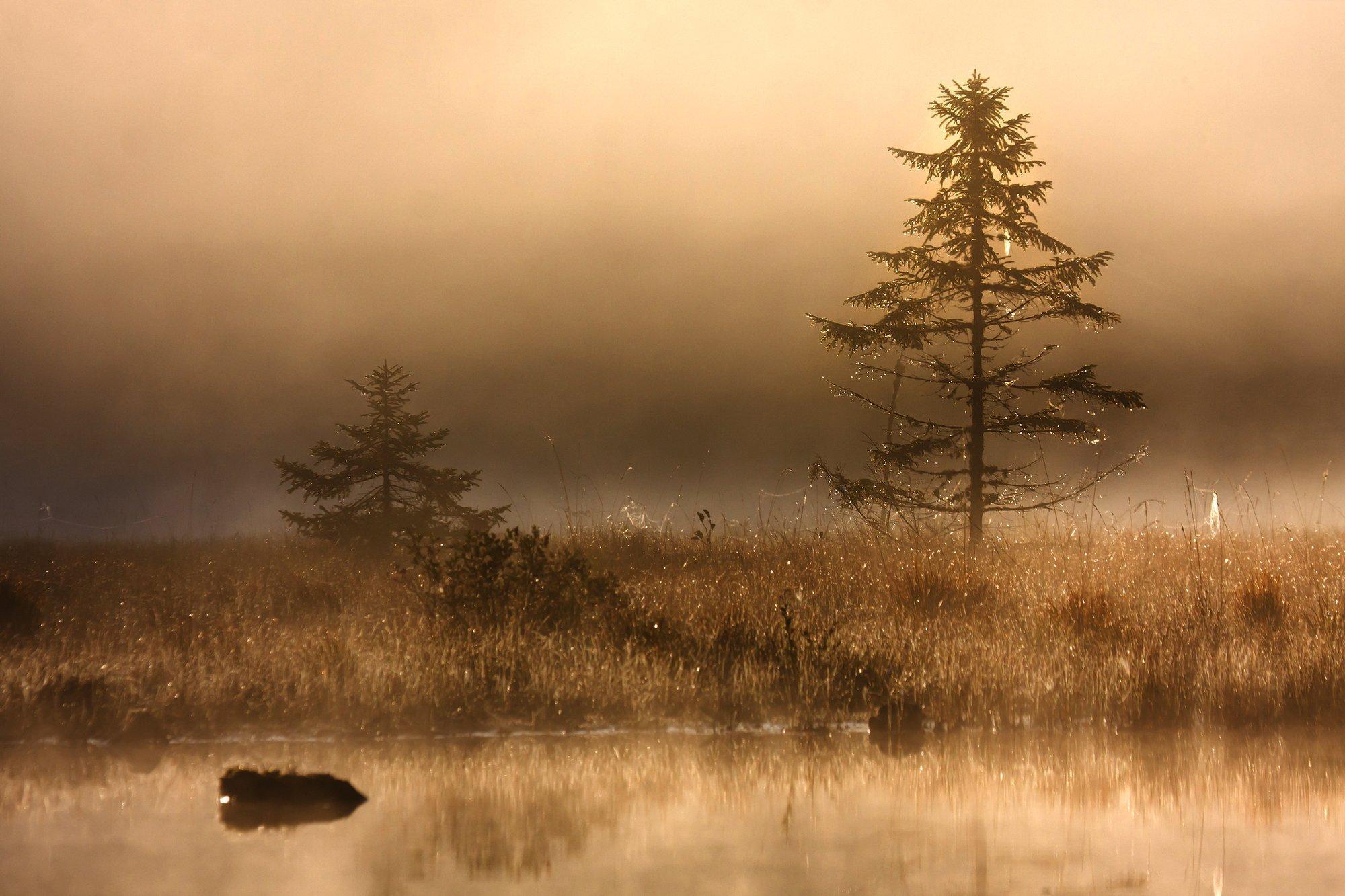 Das Bild zeigt eine Morgenstimmung im Moor, Wasser. Gräser und zwei Nadelbäume glänzen im Sonnenschein.