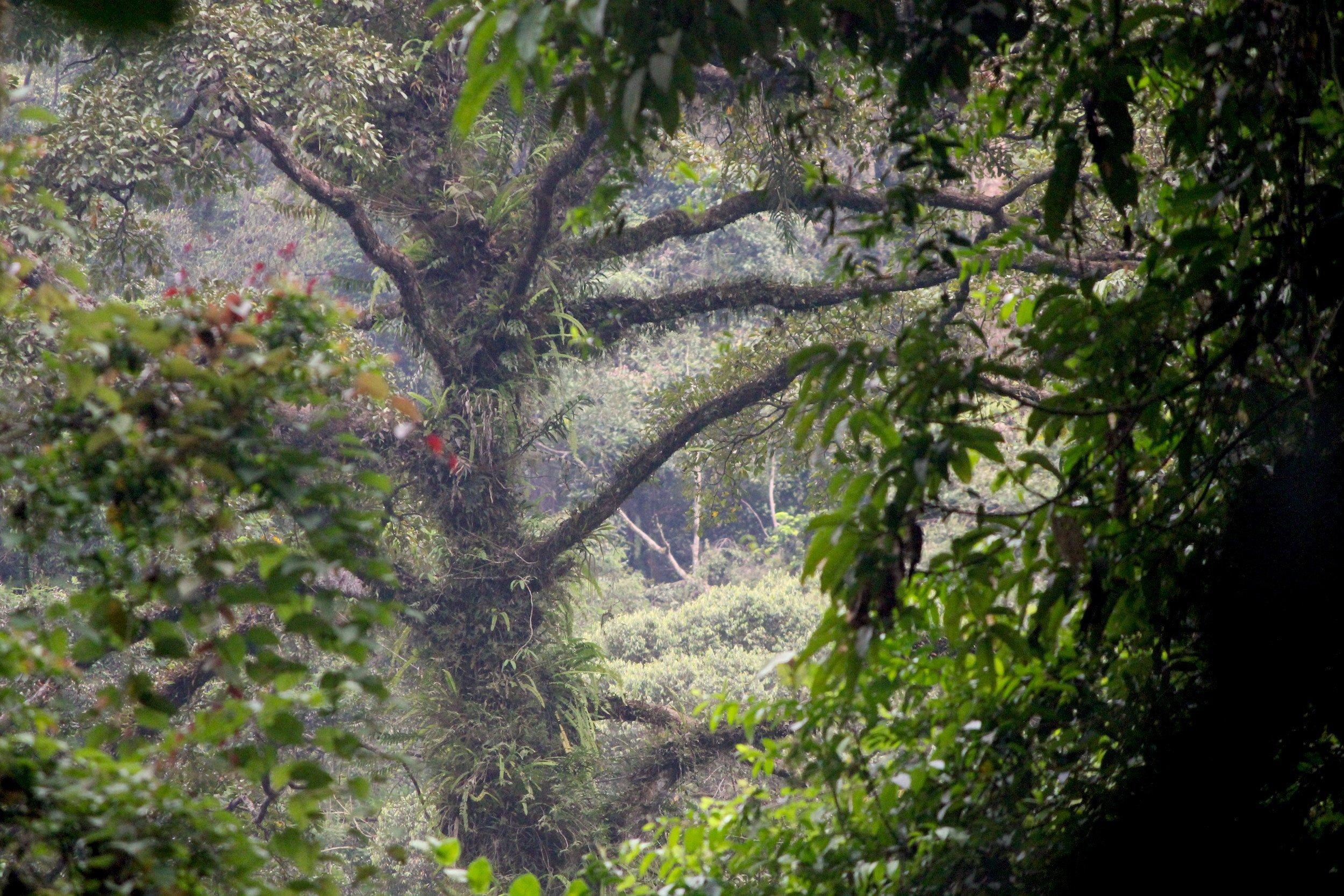 Das Bild zeigt einen großen Regenwaldbaum mit zahlreichen von Moos bewachsenen Ästen.
