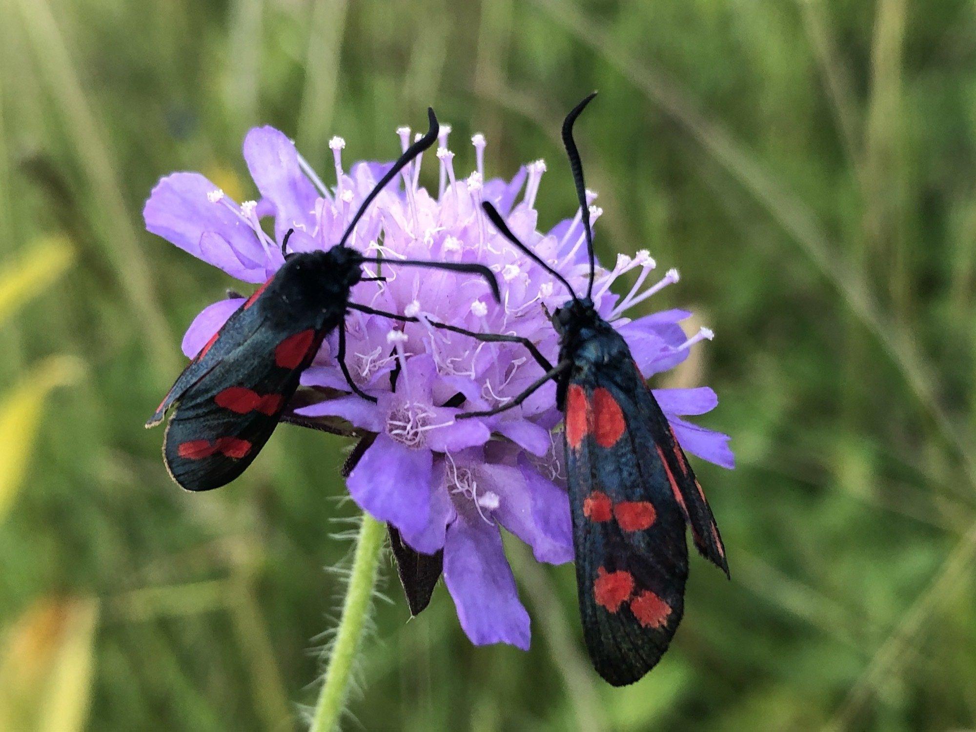 Das Bild zeigt zwei Schmetterlinge aus der Gruppe der Widderchen auf einer Flockenblume.
