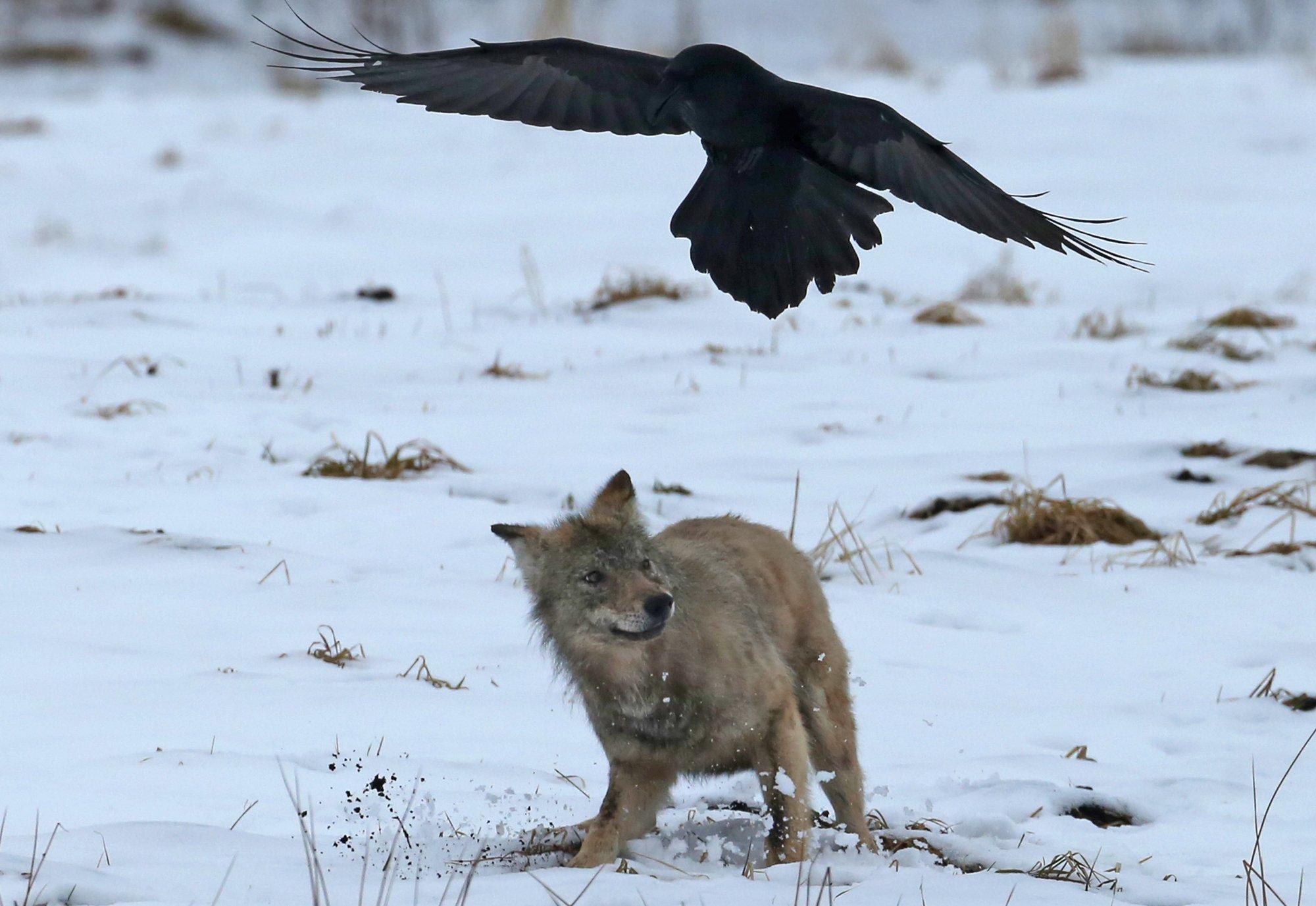 Ein junger Wolf und ein Kolkrabe an einer Beute