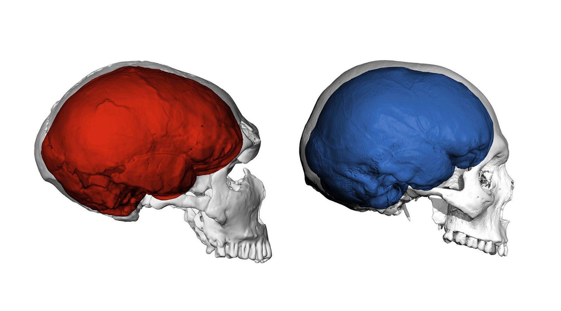 Die Abbildung zeigt links einen das computergenerierte Bild eines Neandertaler-Schädels von der Seite. Er ist langezogen und enthält eine rot gefärbte Darstellung vom Gehirn des Urmenschen. Rechts ist die entsprechende Ansicht eines Homo sapiens-Schädels zu sehen, dessen Gehirn blau dargestellt ist. Dessen Schädel und Gehirn sind fast rund, während sie beim Neandertaler länglich sind. Ein internationales Team aus Leipzig und Nijmegen, Niederlande, untersuchte jetzt, welchen Einfluss die Gene der Neandertaler auf die Hirnstruktur heutiger Menschen haben.