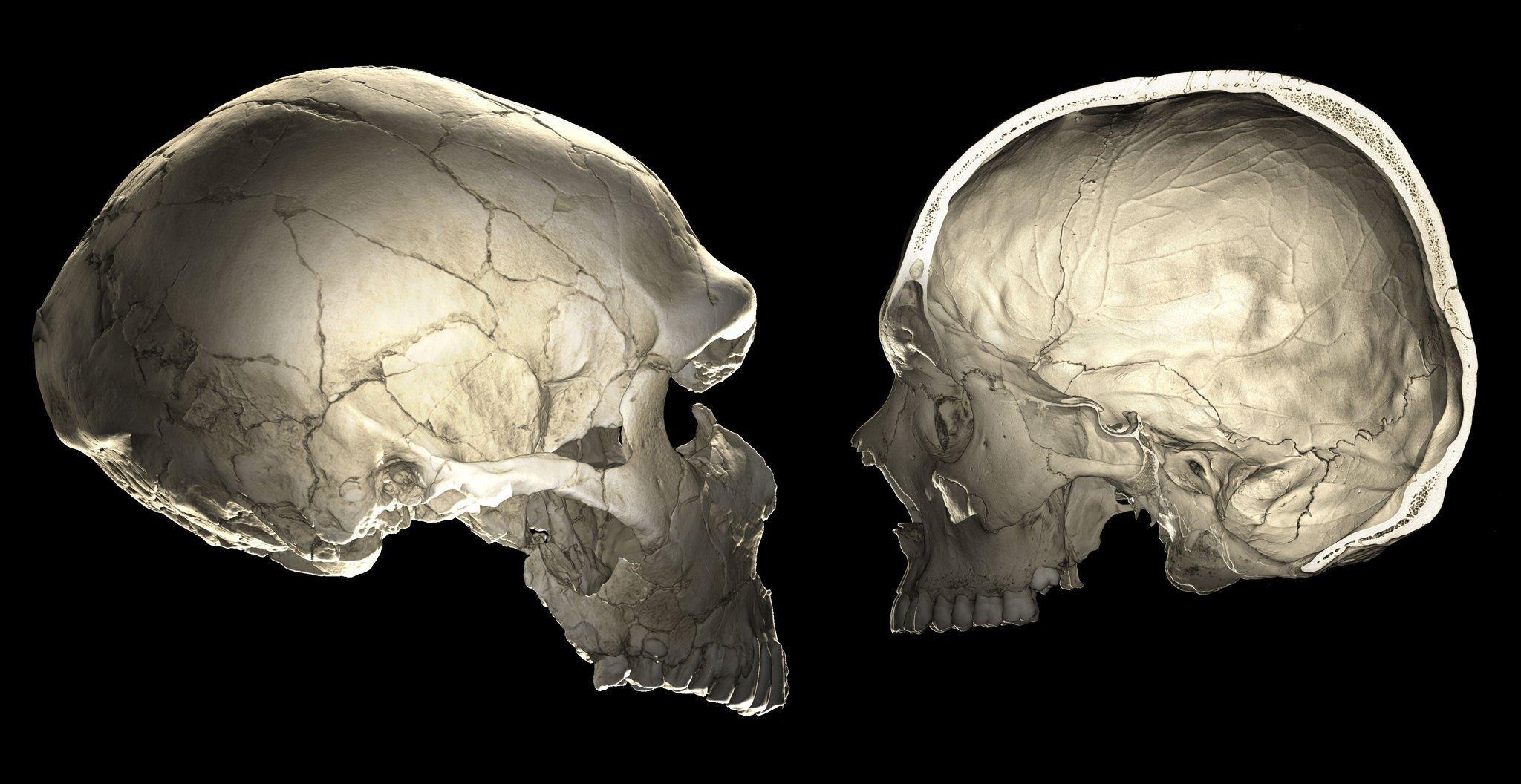 Das Bild zeigt den länglichen Schädel eines Neandertalers und den rundlichen Schädel eines modernen Menschen. Forscher wollen herausfinden, welche Gene die Gehirnentwicklung beeinflussen und nutzen dazu diese im Computertomographen aufgenommenen Fotos, die das Innere des Schädels und die Struktur des Gehirns erkennen lassen.