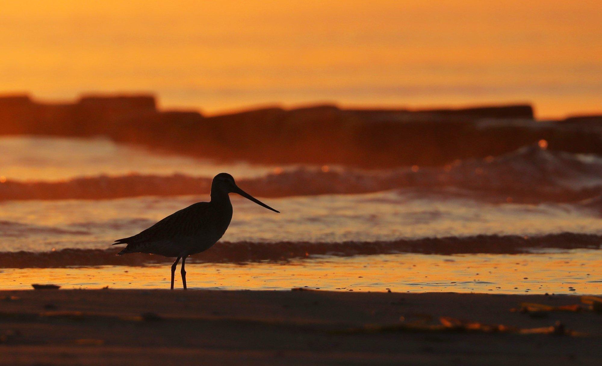 Eine Pfuhlschnepfensilhouette vor untergehender Sonne