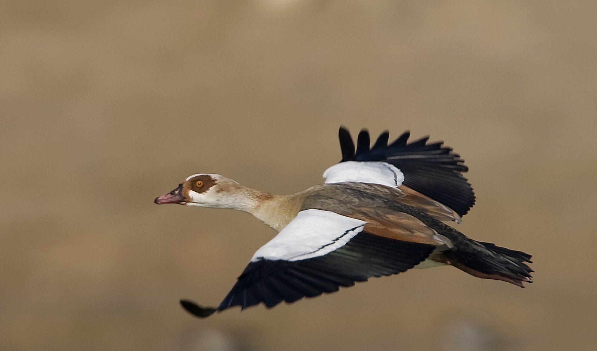 Eine Nilgans im Flug mit ausgebreiteten Flügeln