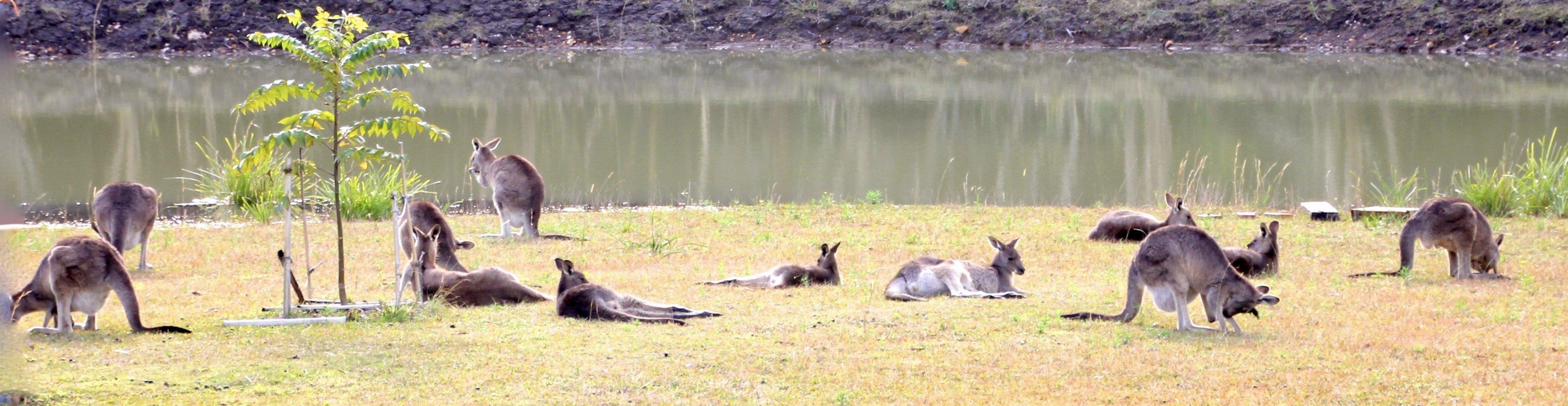 Eine Gruppe von grauen Riesenkängurus und Wallabies liegt auf dem Rasen vor einem Damm, manche grasen, die meisten ruhen sich nur aus.