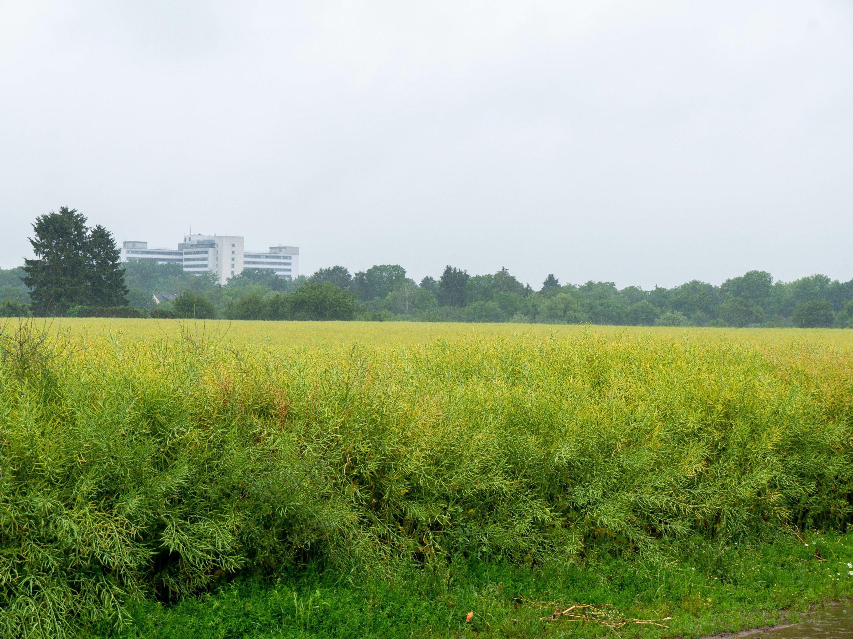 weites Rapsfeld im Vordergrund, dahinter Gehölzstreifen und Gebäude im Dunst vor grau-blauem Himmel