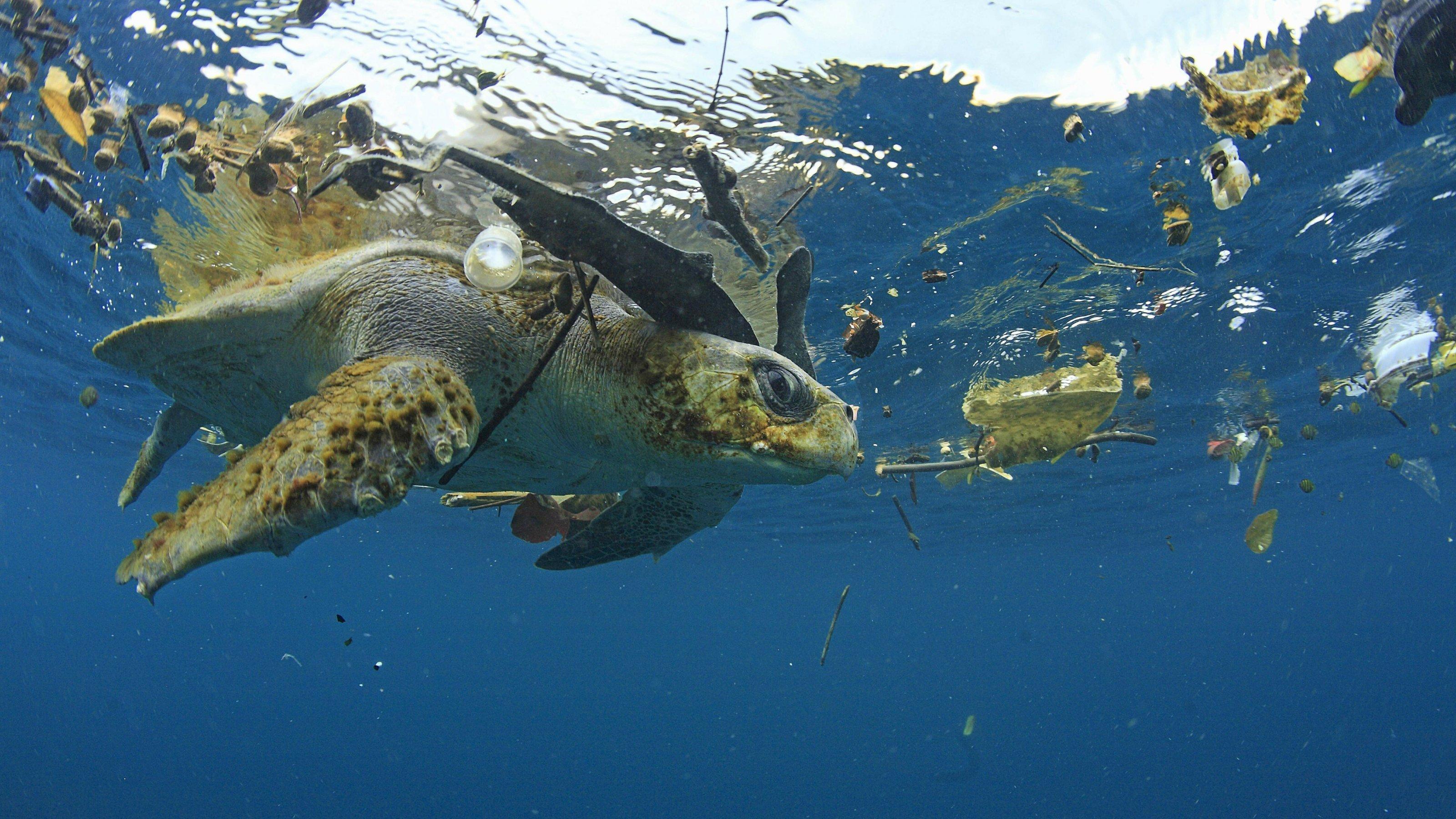 Eine grüne Schildkröte im Wasser, in dem auch Plastikmüll treibt.