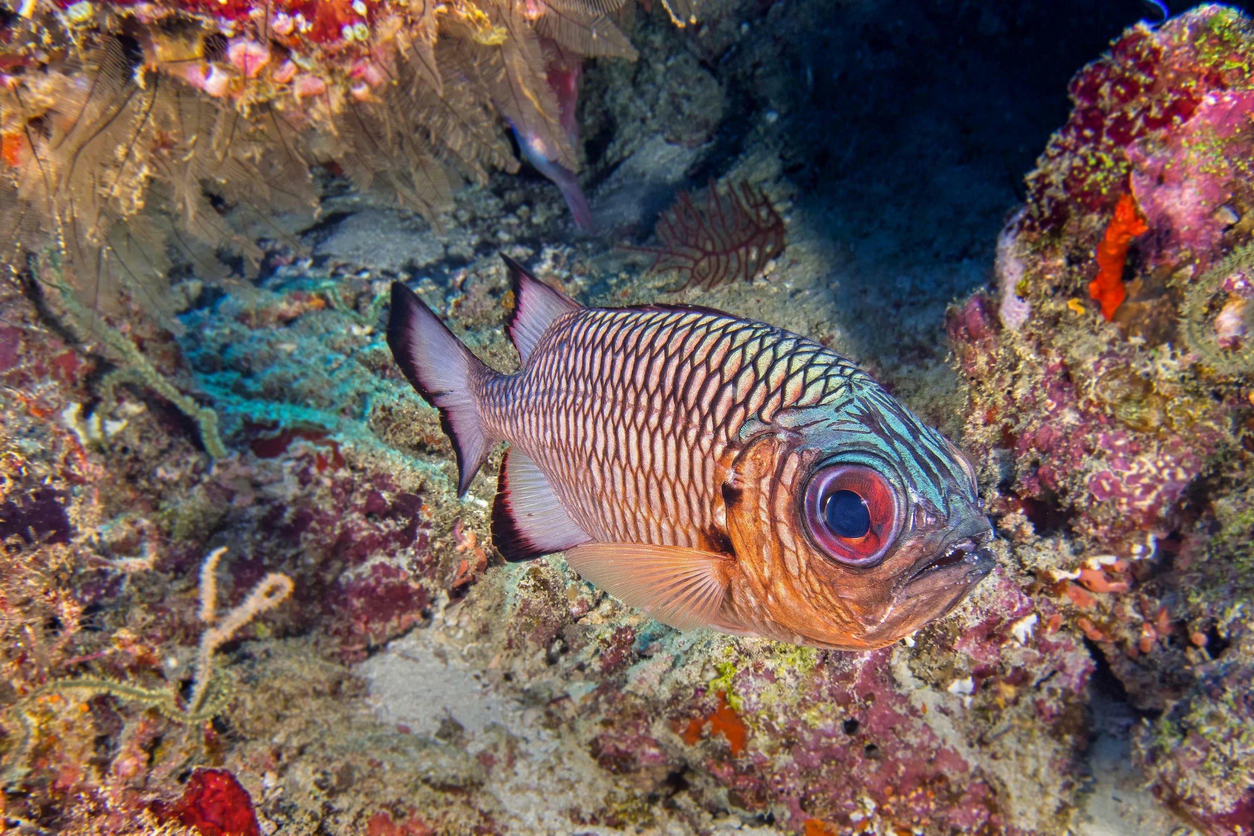 Ein bunter tropischer Fisch vor einem Riff.