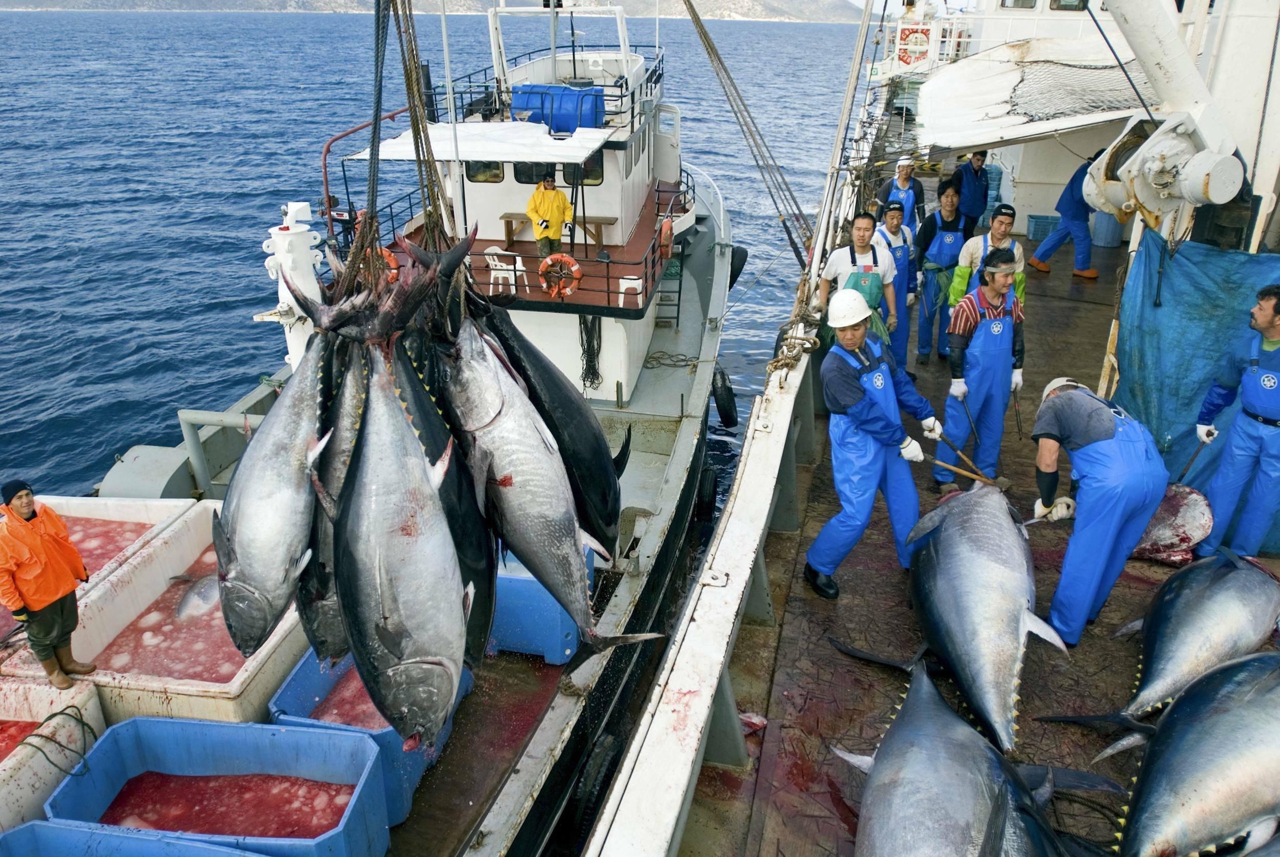 Das Bild zeigt, wie Fischer metergroße Thunfische aus dem Mittelmeer an Bord holen, wo sie zerlegt werden.