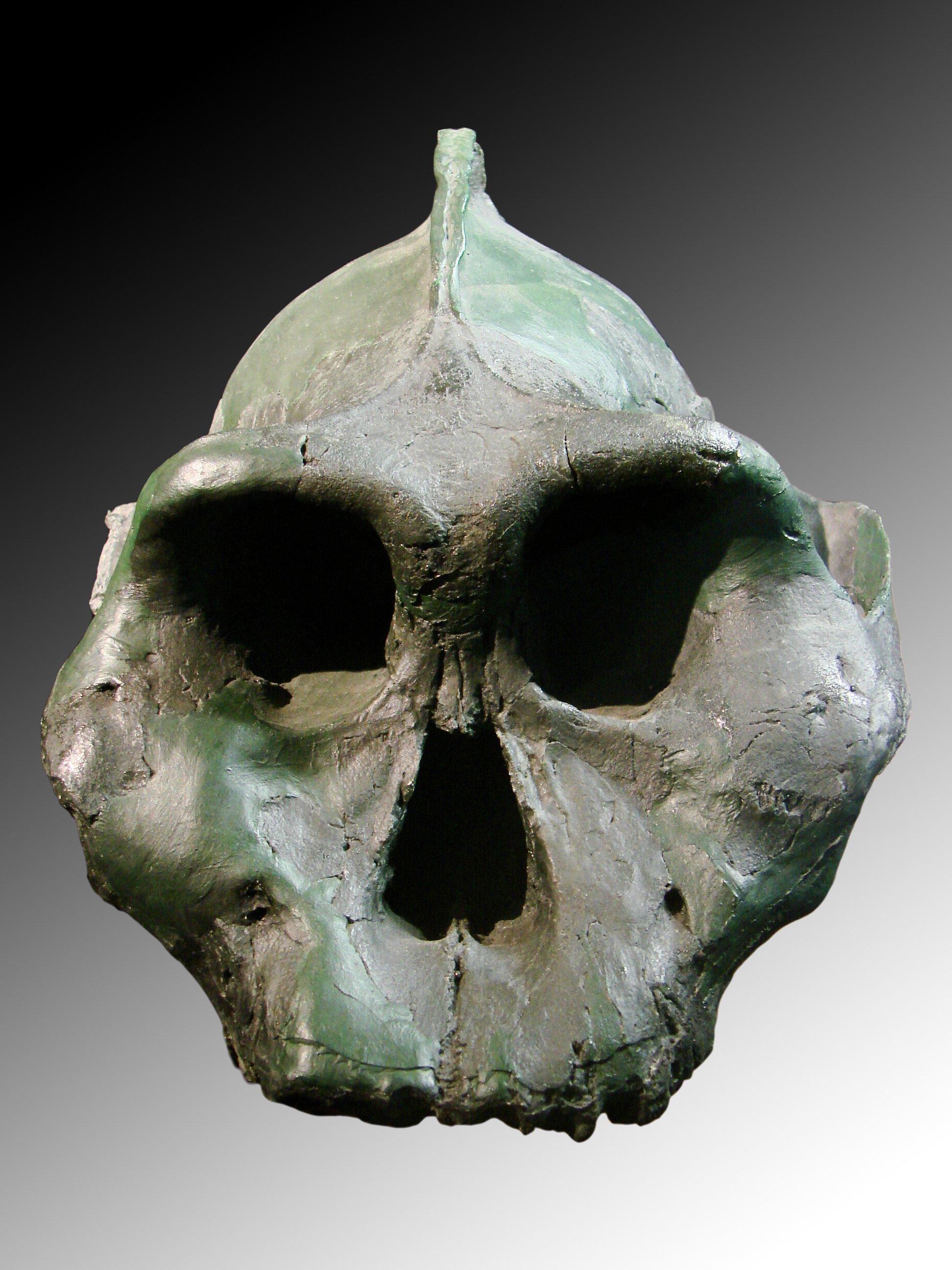 Auf dem Bild ist eine Schädelrekonstruktion von Paranthropus aethiopicus, zu sehen, die an der Universität Zürich gefertigt wurde.  Paranthropus aethiopicus gehört zu den Nussknackermenschen, einer Nebenlinie des Menschen, die dank ihrer Riesenzähne harte Pflanzenkost konsumieren und so auch in trockenem Klima überleben konnte. Eindrucksvoll ist ein Knochenkamm oben auf dem Schädel, der einst dazu diente, den gewaltigen Kaumuskeln Halt zu bieten.
