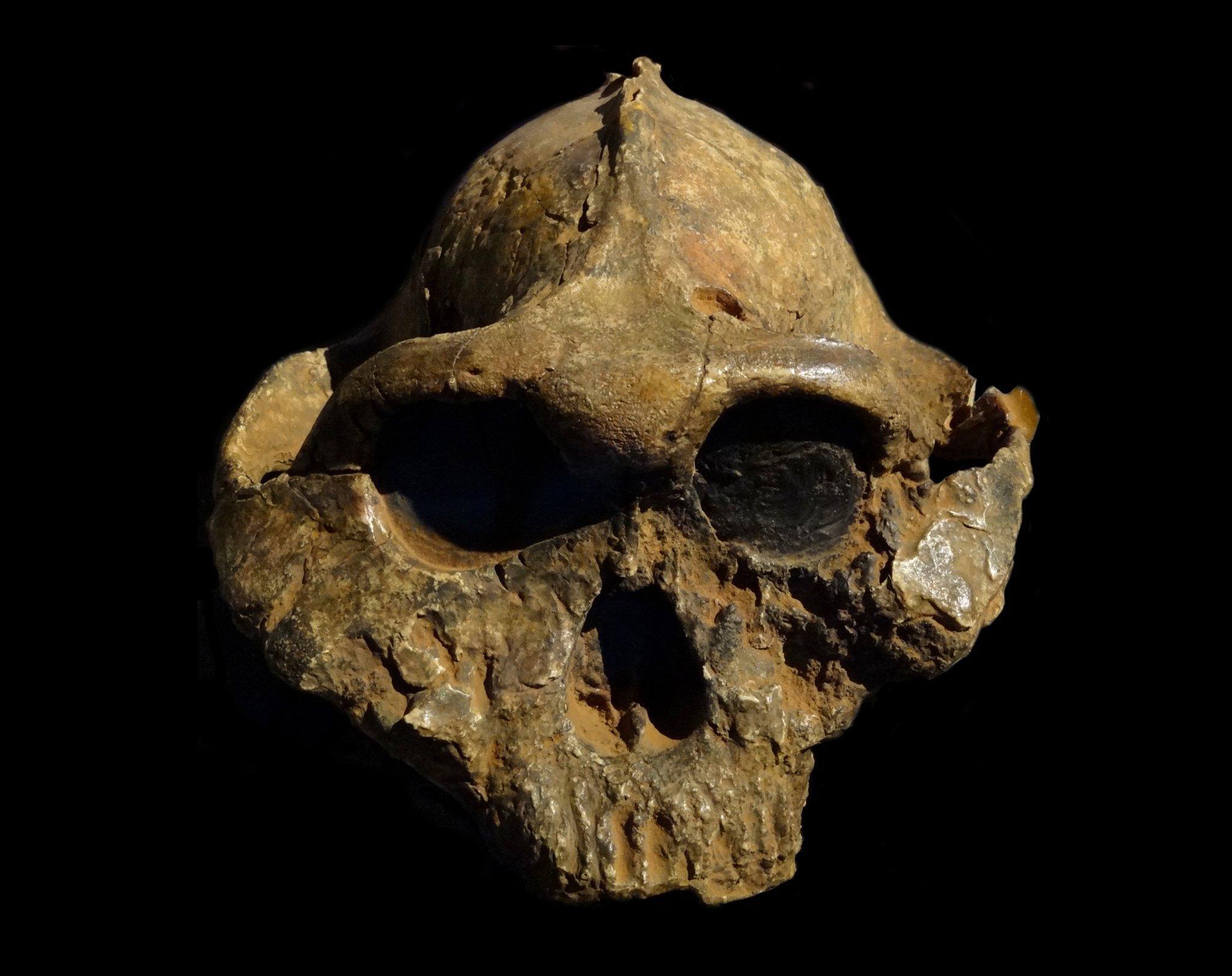 Am fossilen Schädel des Nussknackermenschen Paranthropus boisei ist oben, auf dem Scheitel, eine knöcherne Erhebung zu erkennen. An diesem Knochenkamm setzten einst die stark ausgeprägten Kaumuskeln an.