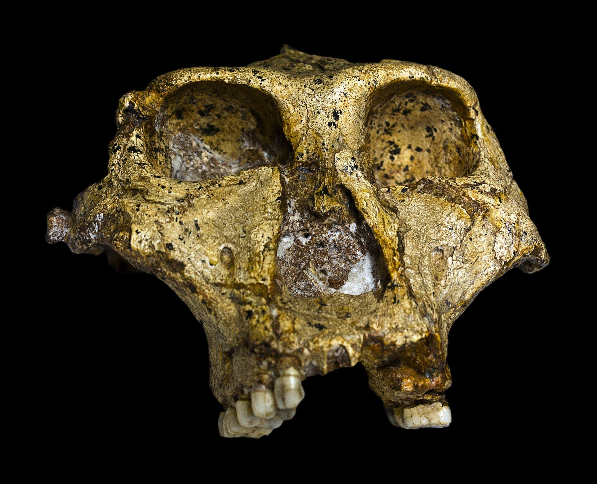 Dieser Schädel des 1938entdeckten Paranthropus robustus lässt erkennen, dass das Wesen riesige Zähne, aber aber nur ein bescheidenes Gehirn besaß. Es handelt sich um einen aufrecht gehenden Verwandten des Menschen, der heute aber einer ausgestorbenen Seitenlinie zugeordnet wird.