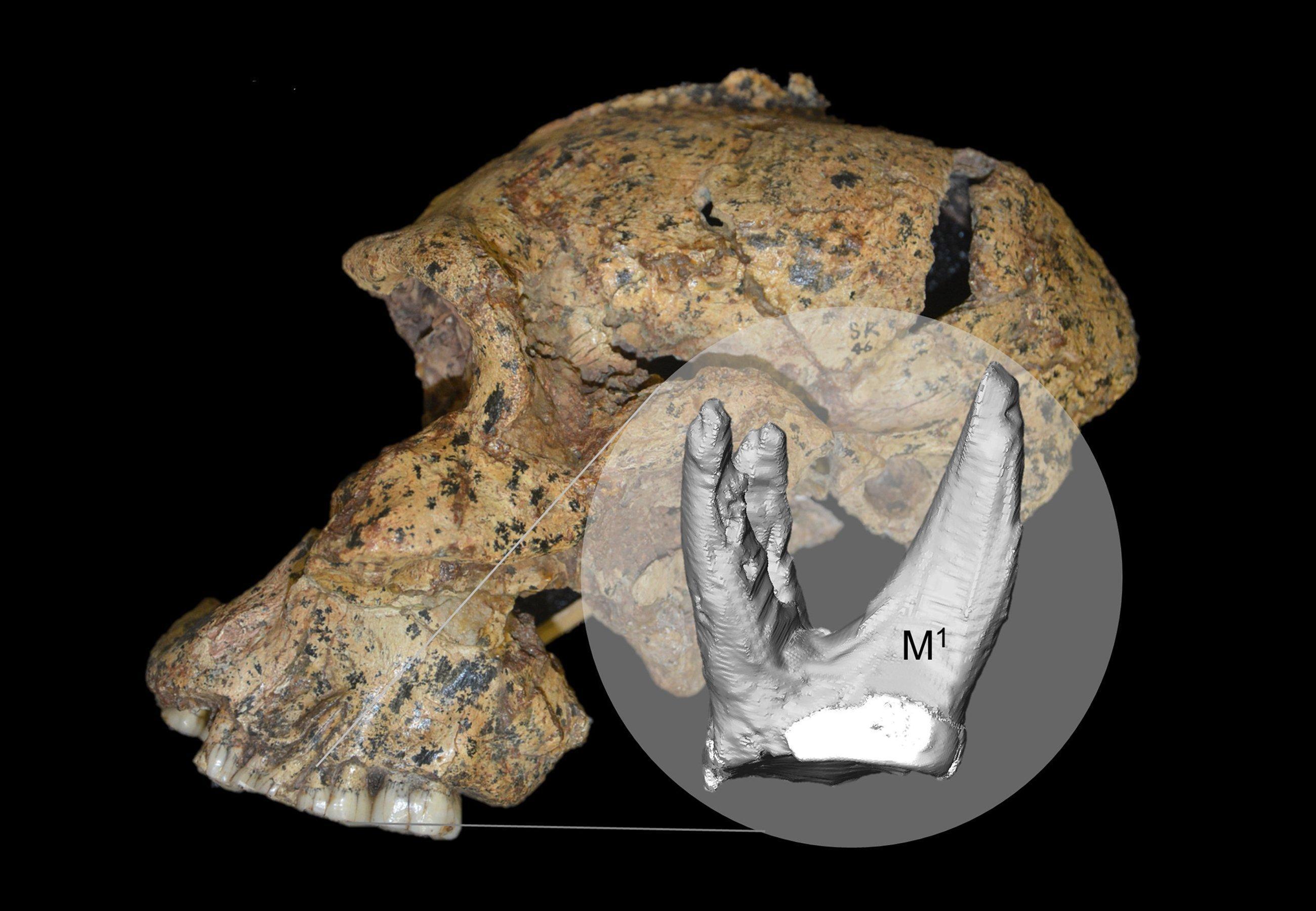 Das Bild zeigt eine seitliche Ansicht des Schädels von Paranthropus robustus. Vom Kiefer als Zoombild ausgehend und stark vergrößert, ist zudem die virtuelle Rekonstruktion eines Zahnes und seiner Wurzeln dargestellt. Daran können die Forscher aus Leipzig erkennen, wie dieser Verwandte des Menschen einst seine Nahrung zerkaute.