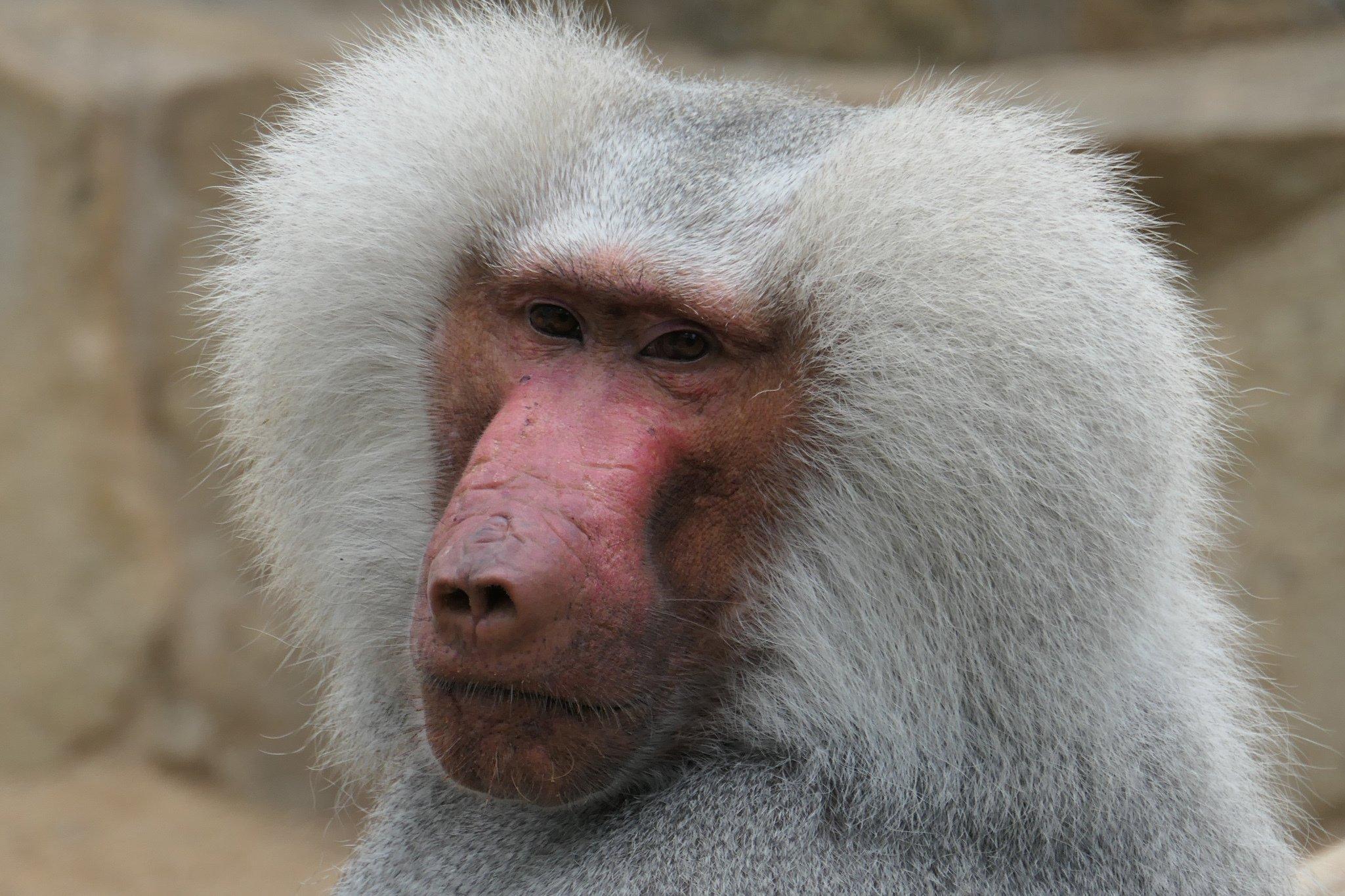 Das Foto zeigt in Großaufnahme den Kopf eines männlichen Pavians im Zoologischen Garten Berlin. Er trägt eine auffällige silberne Mähne an beiden Seiten des Kopfes und sein Gesicht ist von Narben gezeichnet. Paviane leben in Gruppen in der afrikanischen Savanne und bewegen sich vierbeinig fort.