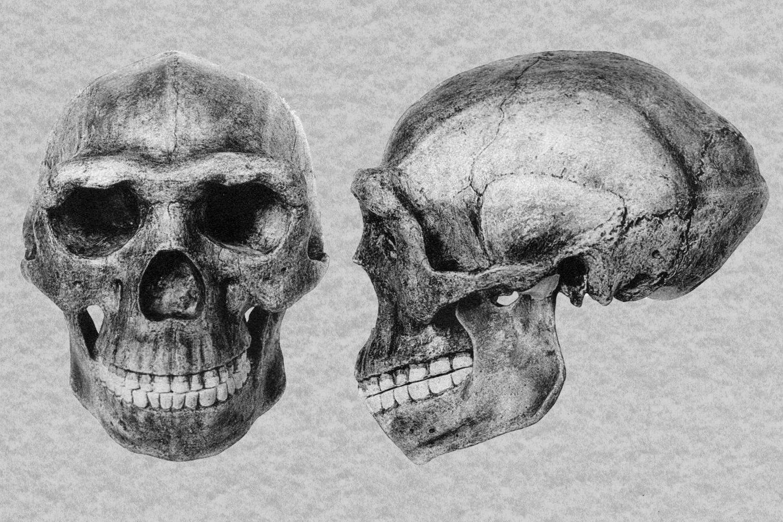 Der Forscher Franz Weidenreich fertigte die filigrane, detailreiche Schwarz-Weiß-Zeichnung dieses vollständigen Schädels eines Pekingmenschen (Homo erectus) an. In den Jahren 1928bis 1937gruben Forscher in einer Höhle in der Nähe von Peking zahlreiche Knochenrelikte dieses Urmenschen aus. Doch die meisten dieser Fossilien gingen in den Wirren des 2. Weltkriegs verloren.