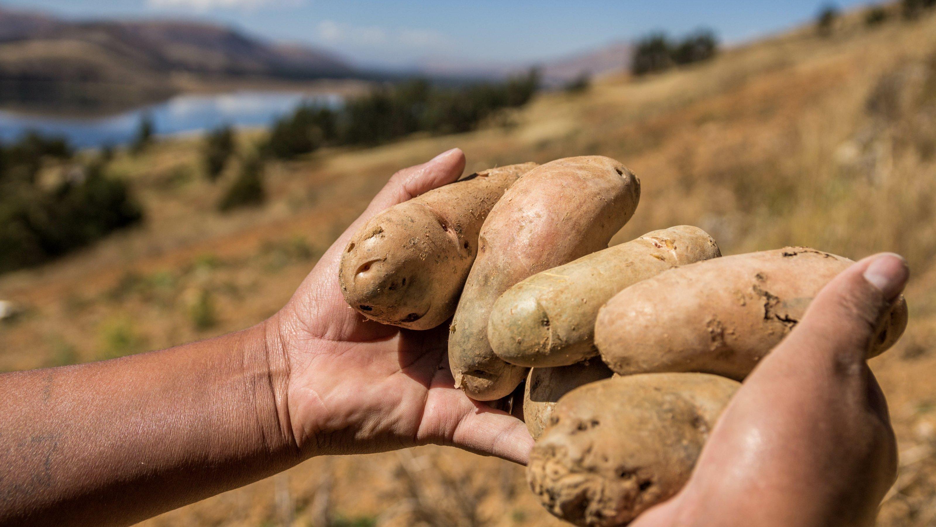 Zwei Hände halten sechs saubere, längliche, große Kartoffeln. Im Hintergrund sieht man Berglandschaft und einen See.