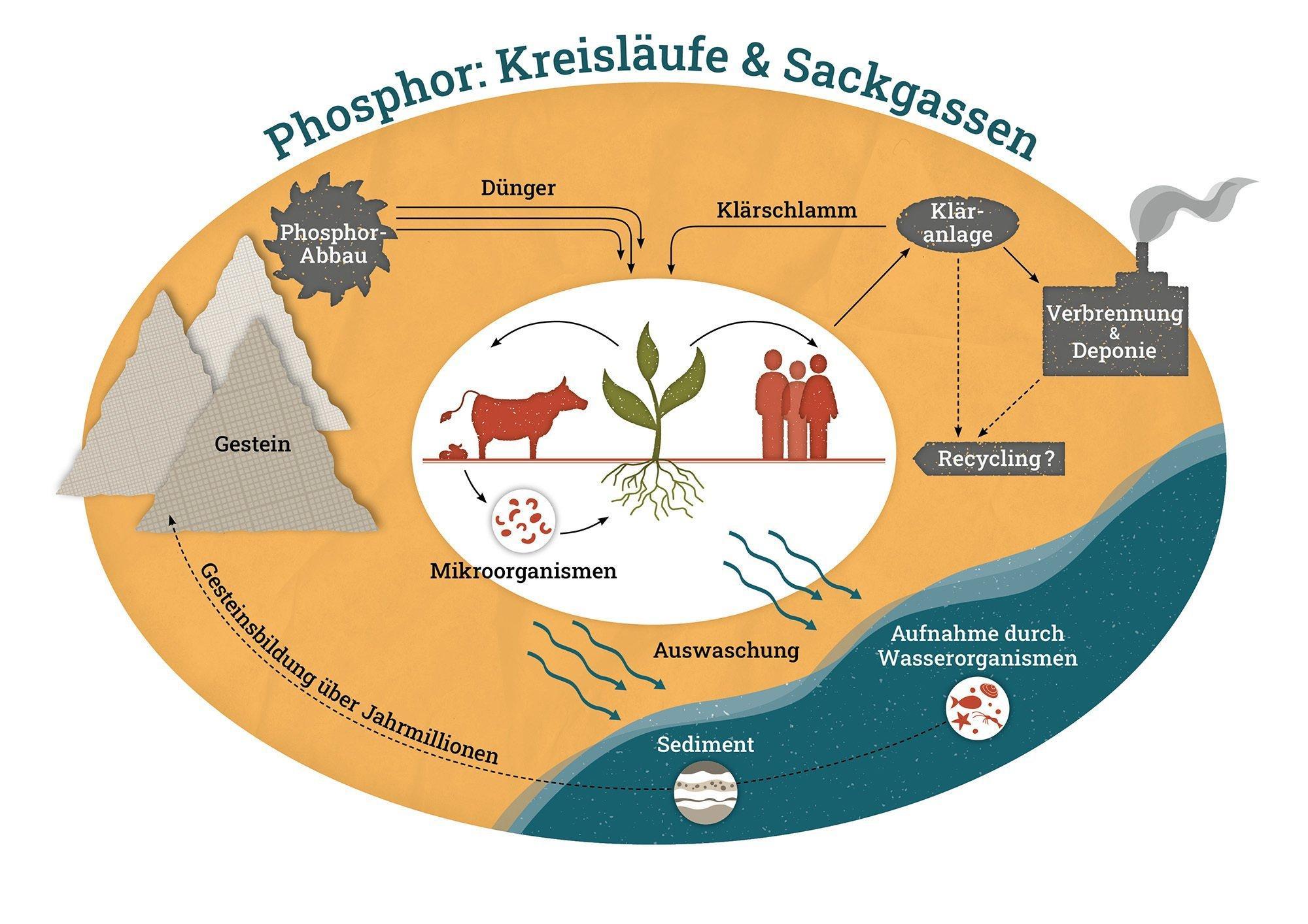 Die Abbildung zeigt den Weg des Phosphors vom Gestein in den Boden, wo er von Pflanzen und Mikroorganismen aufgenommen werden kann. Durch Auswaschung gelangt ein großer Teil in die Gewässer und sinkt dort als Sediment zu Boden. Über jahrmillionen wird aus dem Sediment wieder Gestein und der Kreislauf beginnt aufs Neue. Die Abbildung zeigt auch, wie Phosphatgestein abgebaut und als Düngemittel in der Landwirtschaft eingesetzt wird, und wie ein Teil des Phosphors über die Nahrung in den Kläranlagen landet und damit dem Kreislauf entzogen wird.