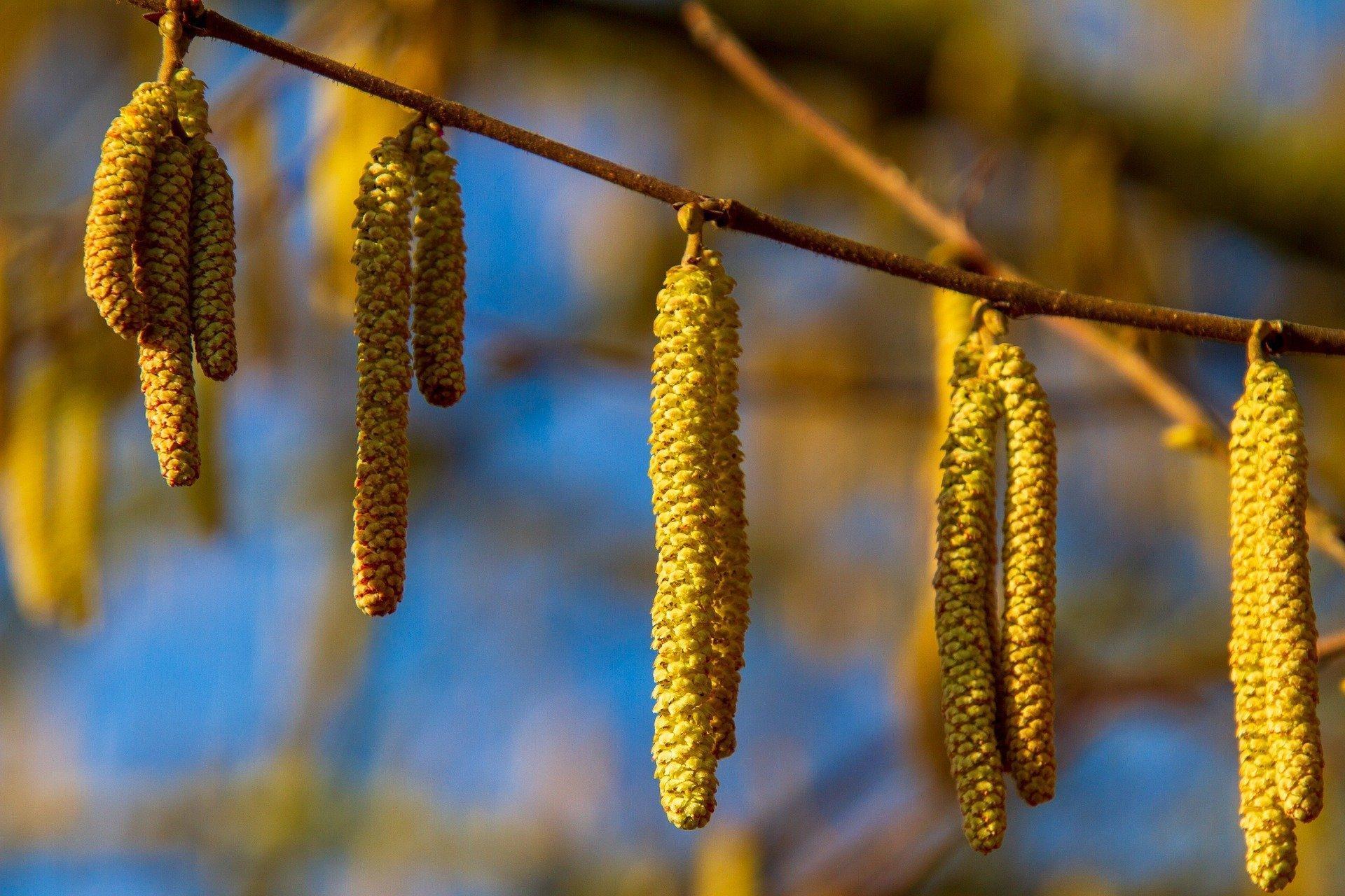 Ein Haselstrauch mit Pollen im Frühjahr.