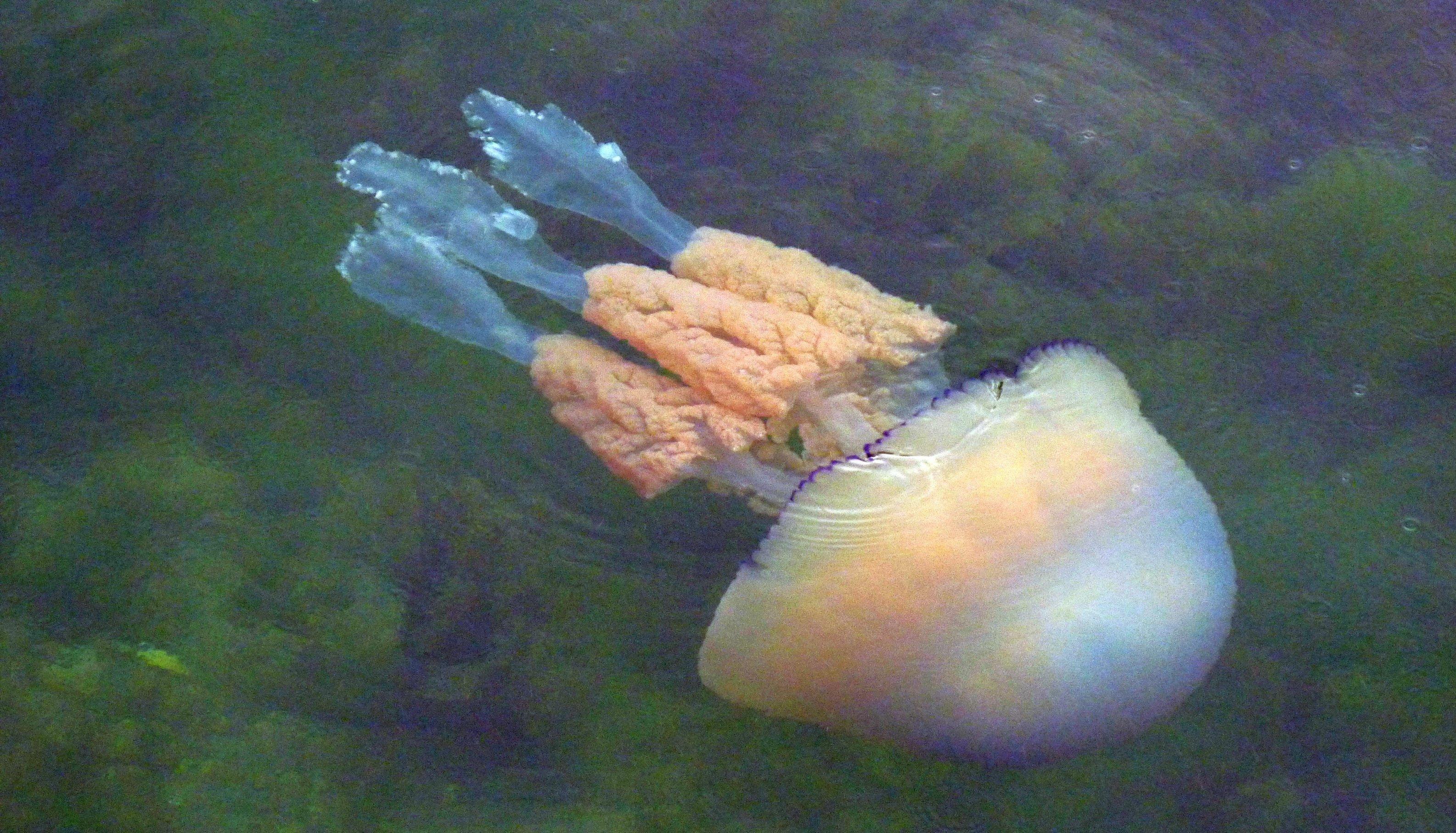 Auf diesem Foto ist eine Wurzelmundqualle im Meer zu sehen.