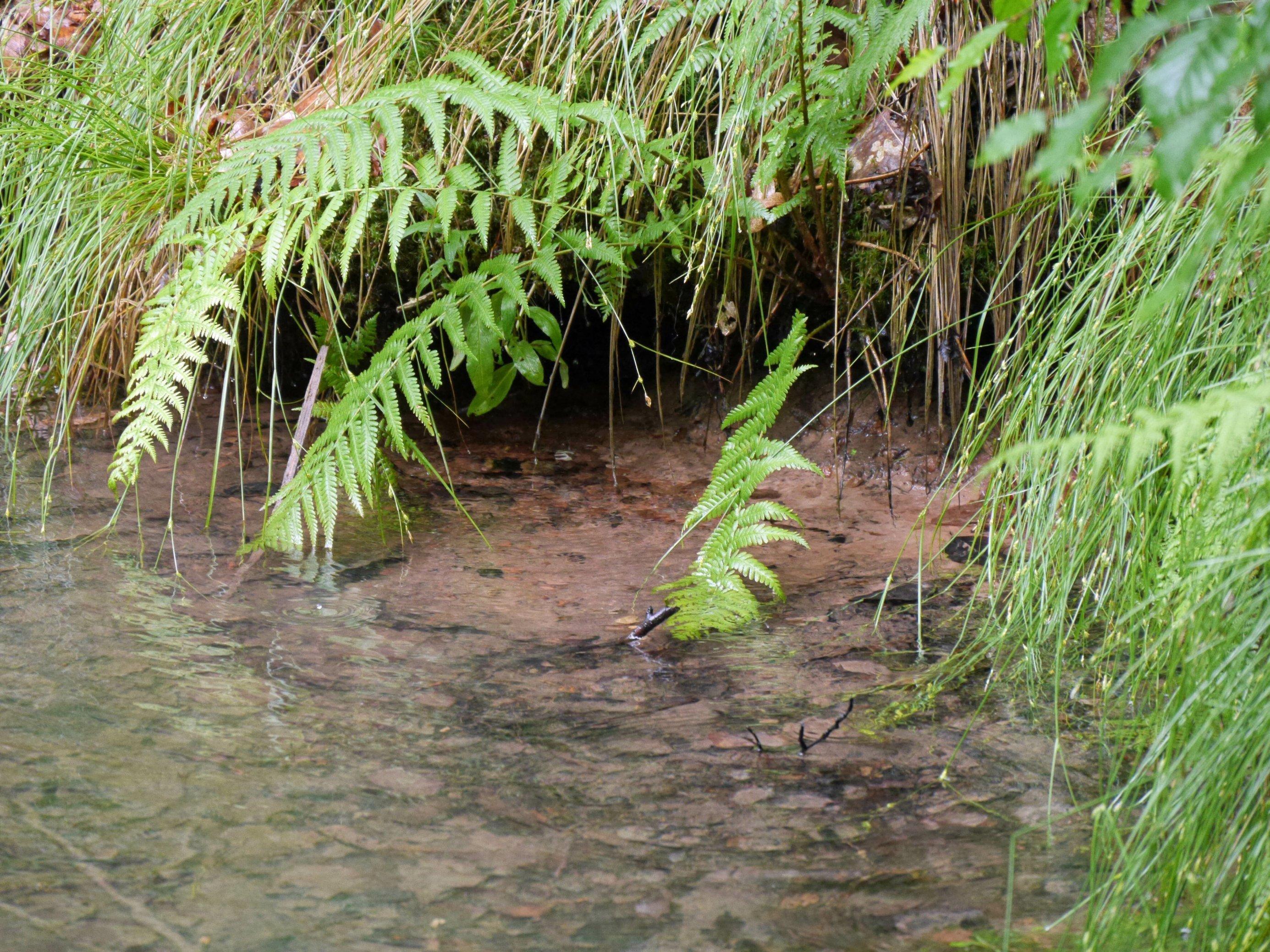 Wasser quillt in einen Teich mit rotem Sandboden, am Ufer grüne Gras- und Farnpfllanzen