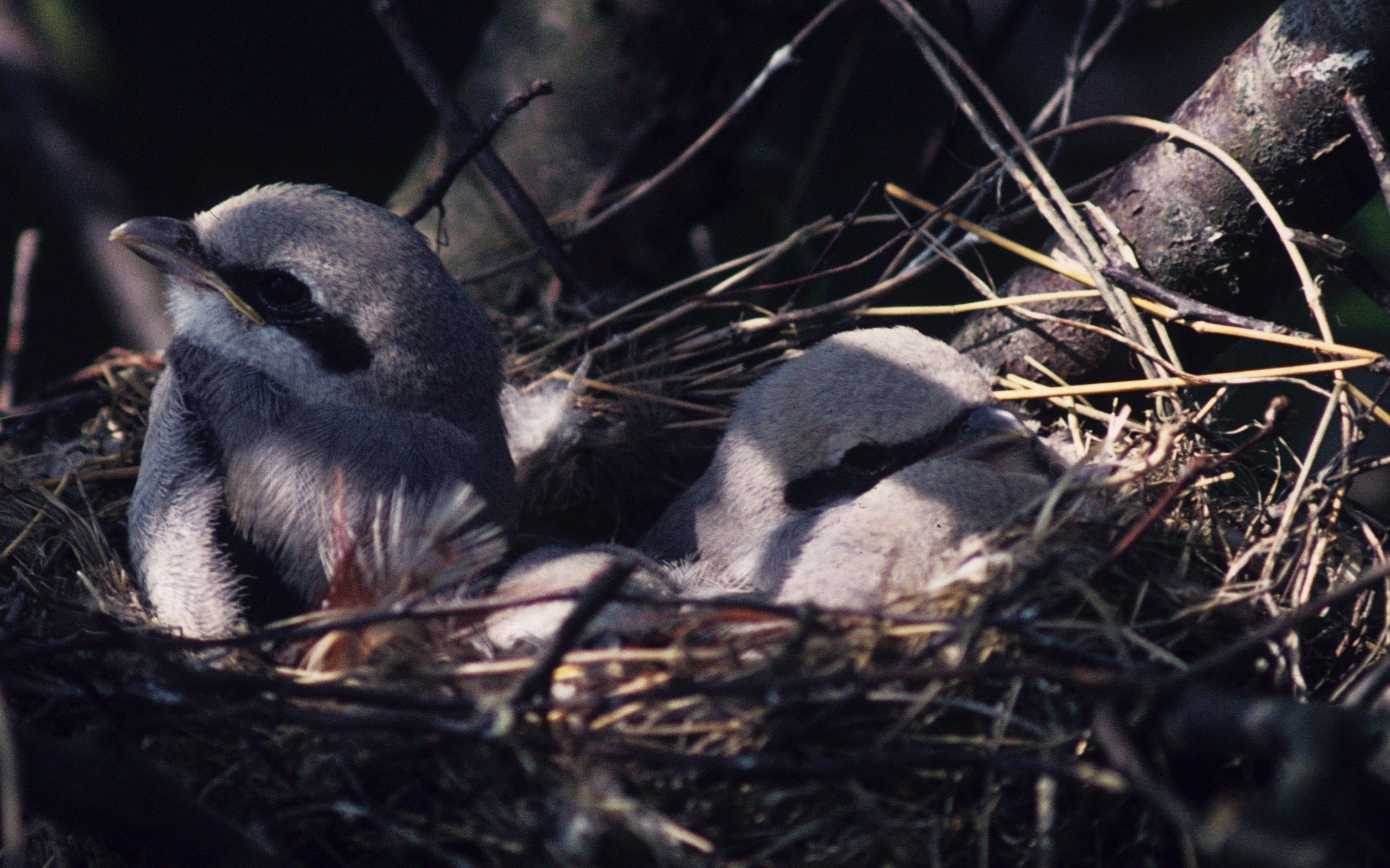 Das Bild zeigt junge Raubwürger im Nest.