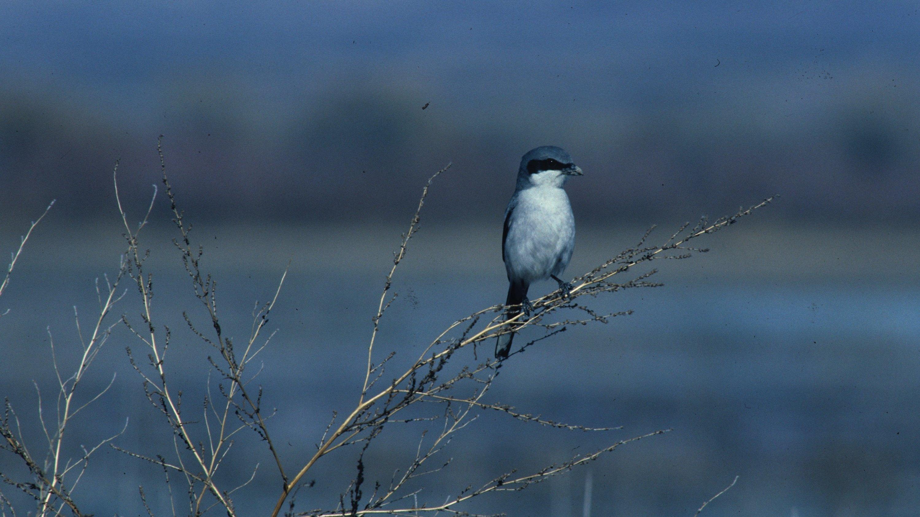Der Vogel ist im Ansitz auf der Ausschau nach Beute zu sehen.