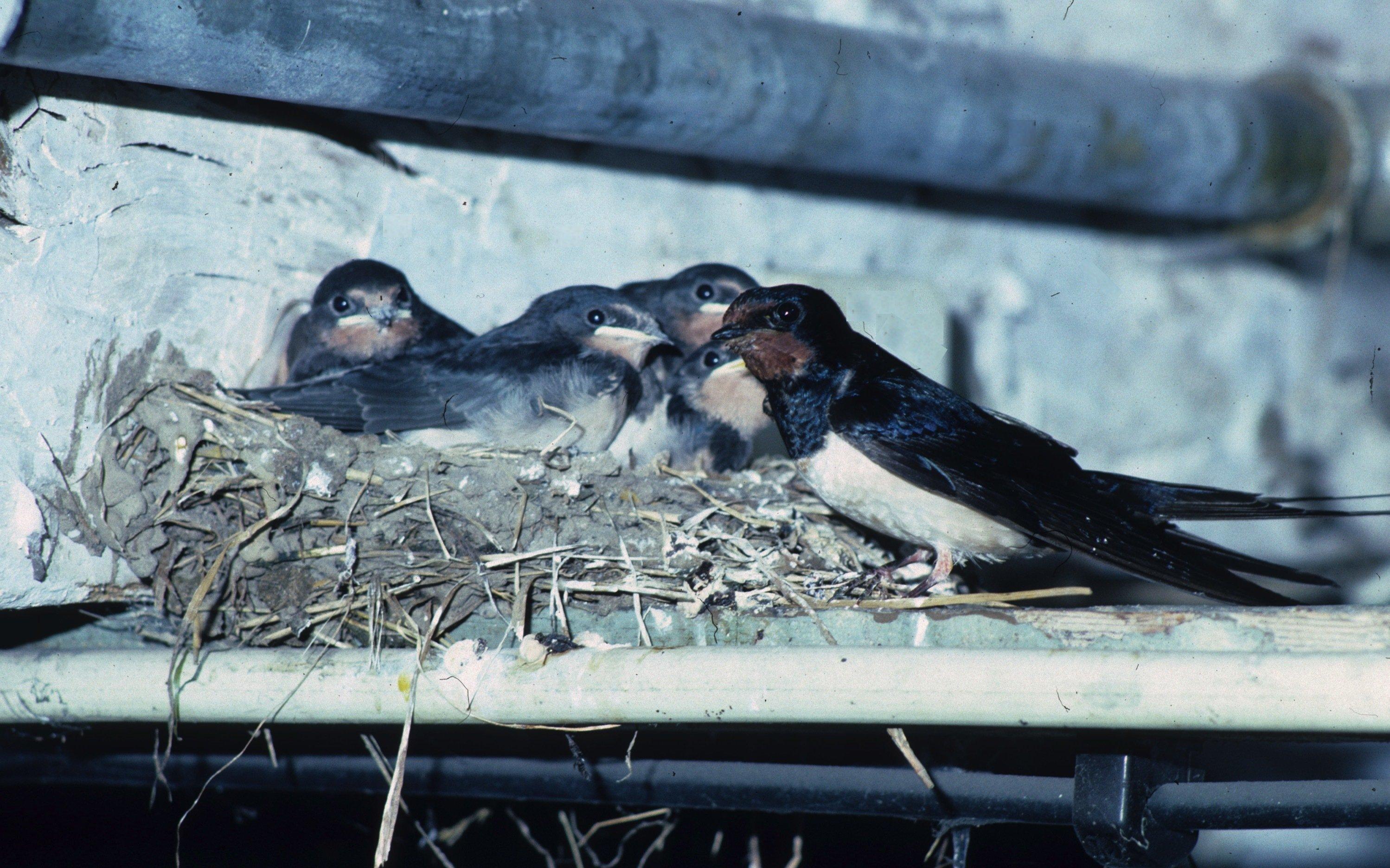 Rauchschwalbenjunge und Eltern gemeinsam am Nest.