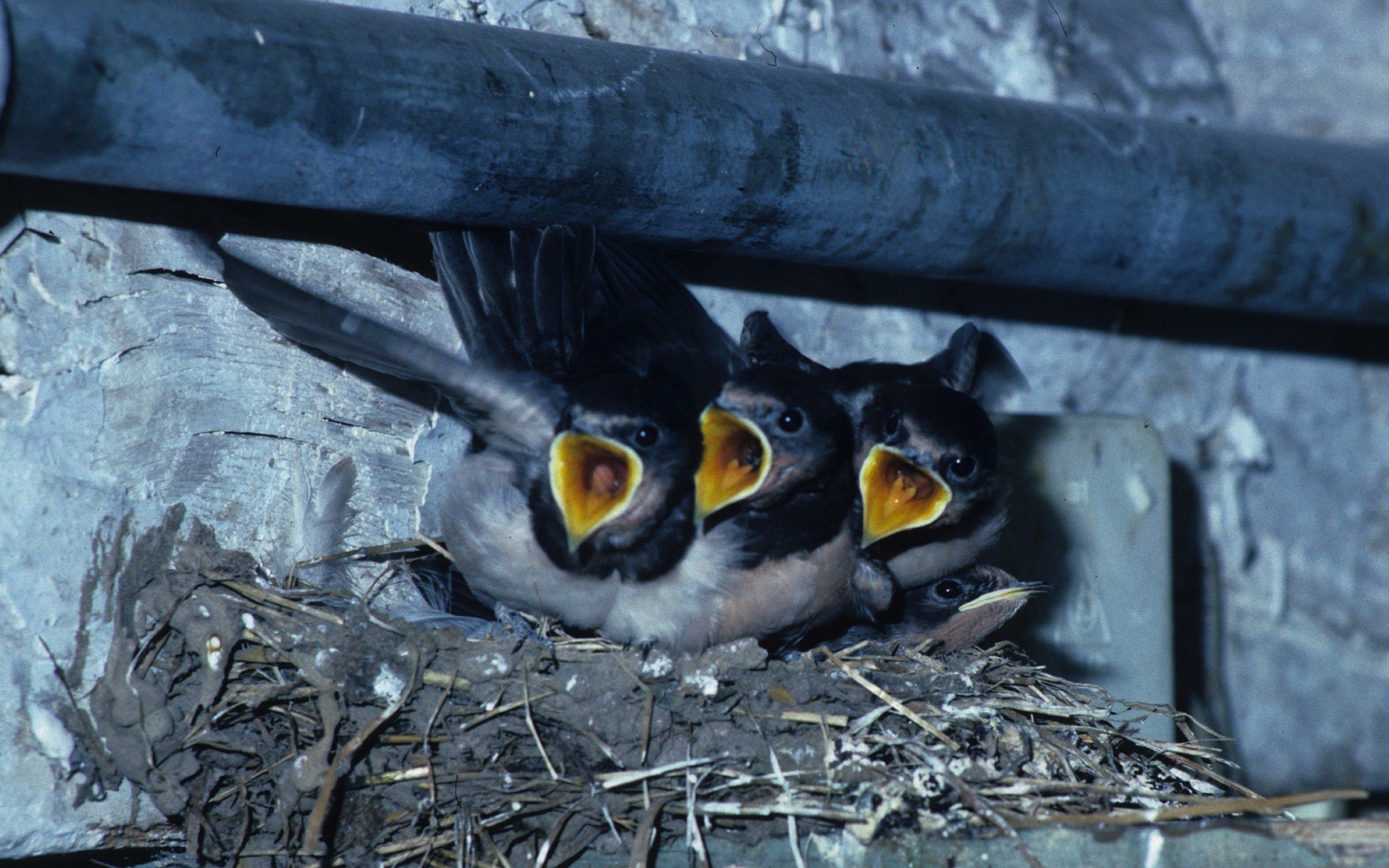 Die Jungvögel sitzen mit aufgerissenen Schnäbeln im Nest.