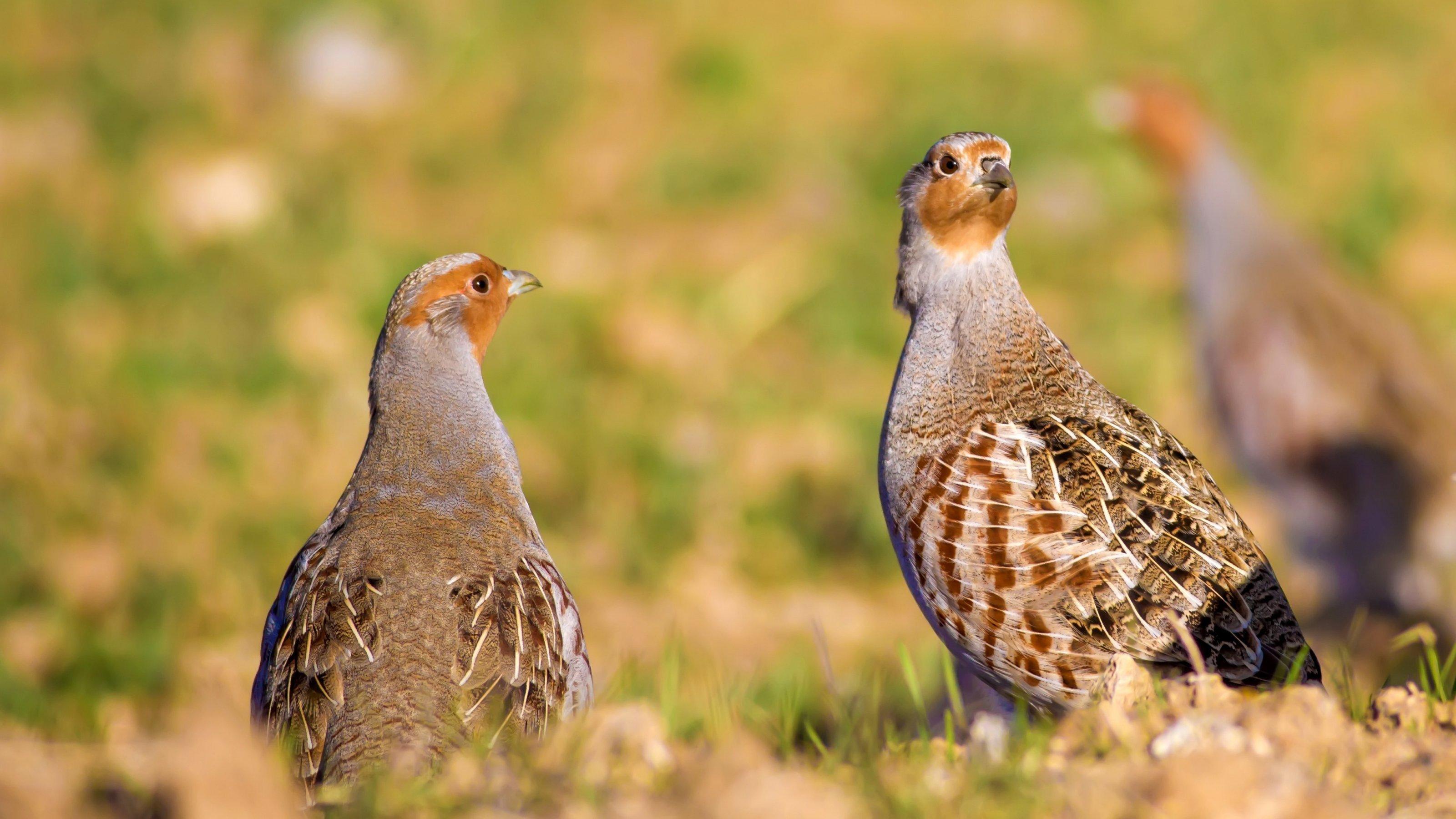 Zwei Rebhühner stehen auf einer Wiese. Im Hintergrund ist ein drittes Rebhuhn zu erkennen.