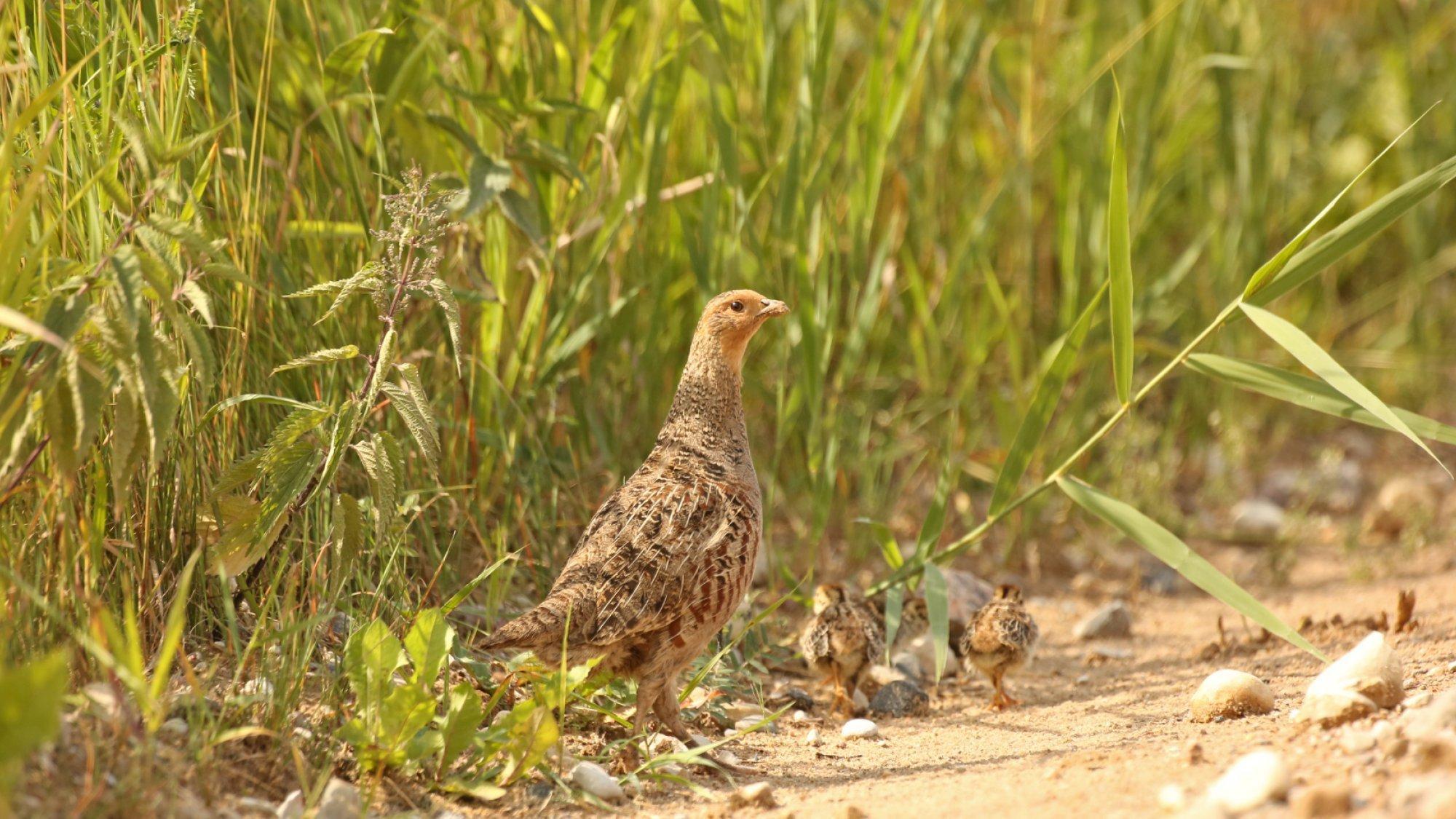Eine Rebhuhn-Henne mit ihren Küken am Feldrand