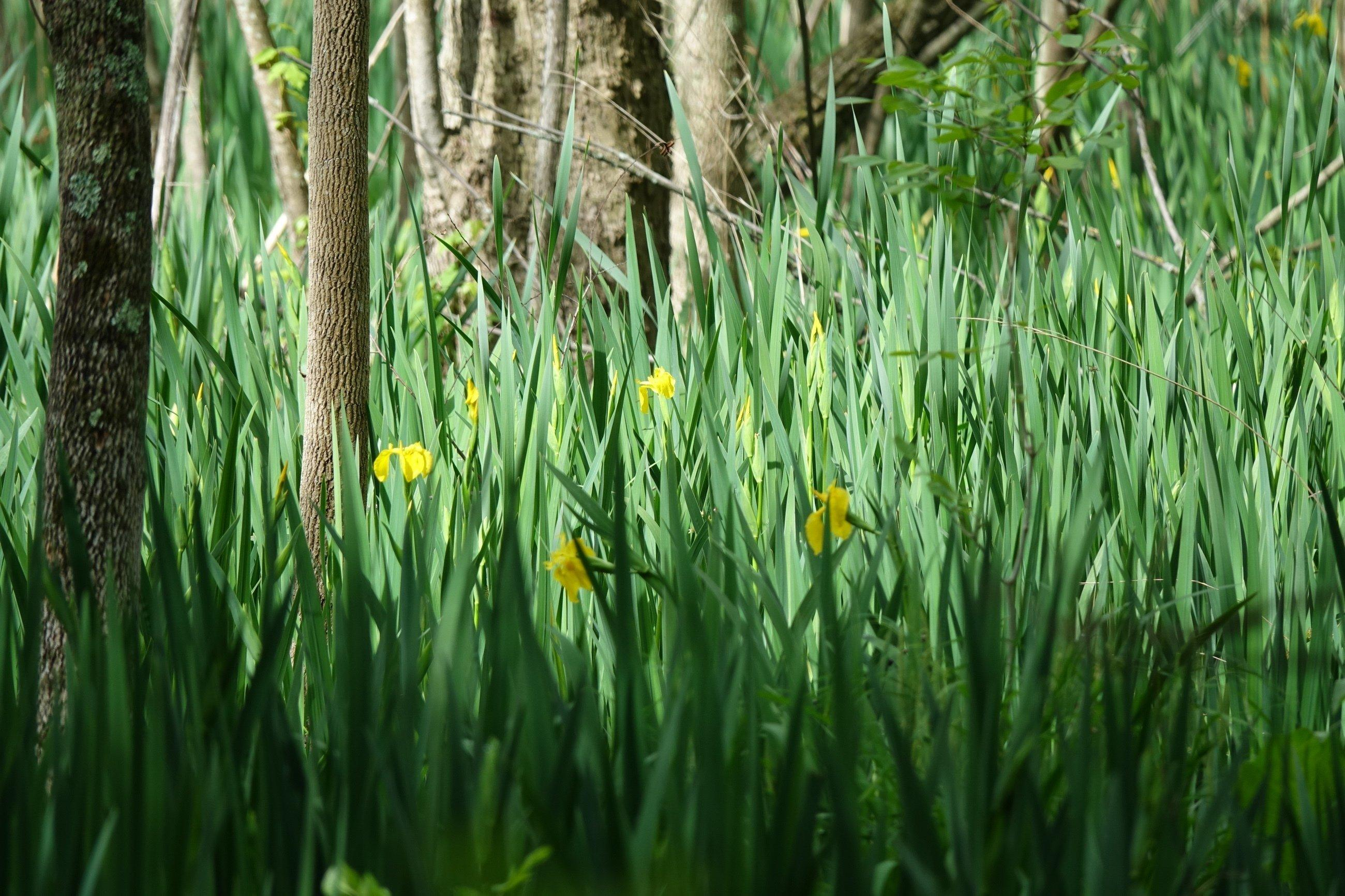 Schwertlilien auf der Theodore-Roosevelt-Insel.