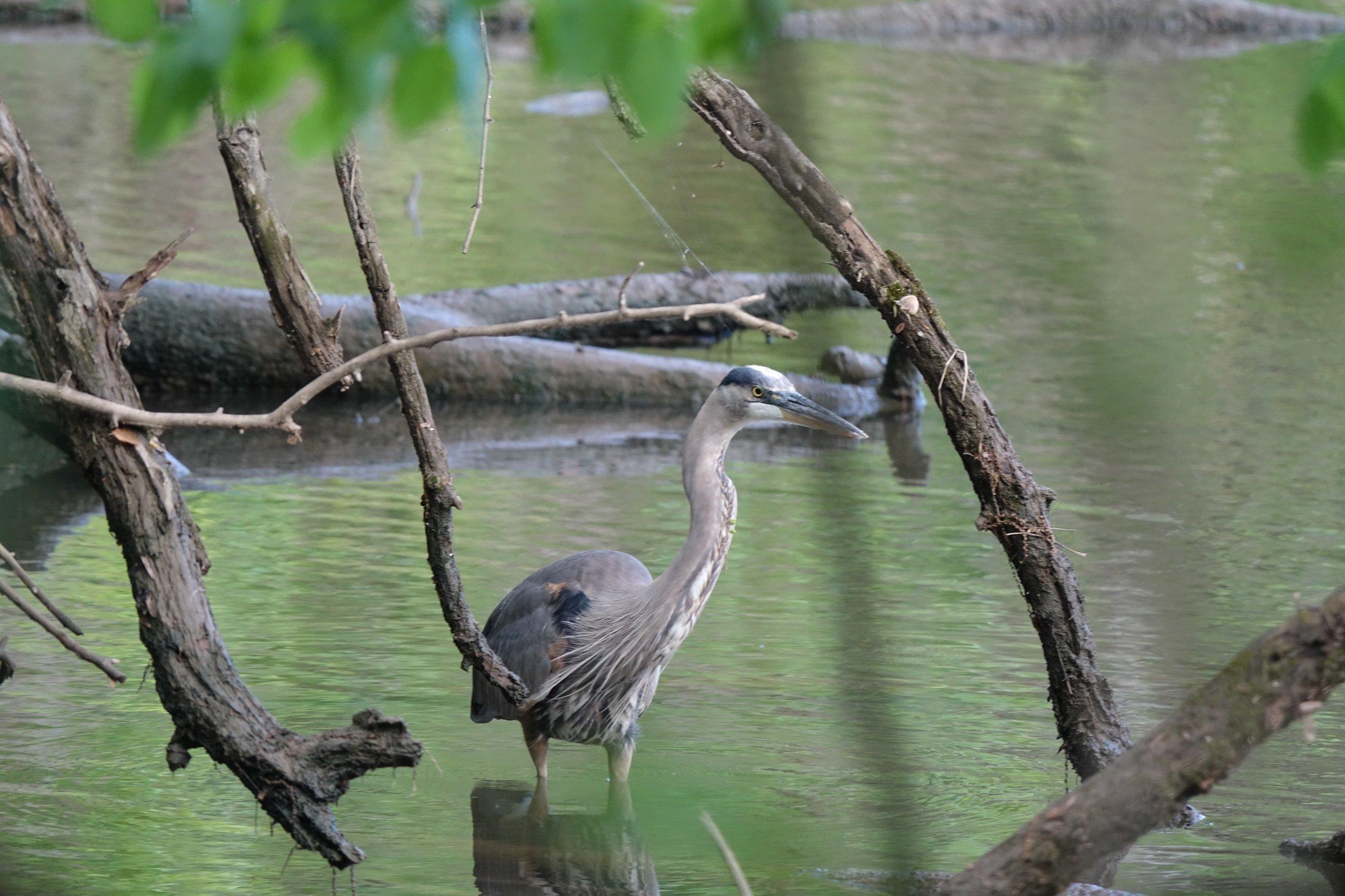 Ein Kanadareiher stakt durch einen Fluss.