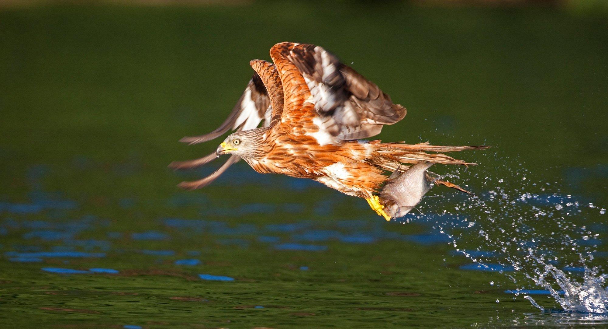 Ein Rotmilan fliegt mit einem erbeuteten Fisch in den Krallen dicht über die Wasseroberfläche eines Sees.