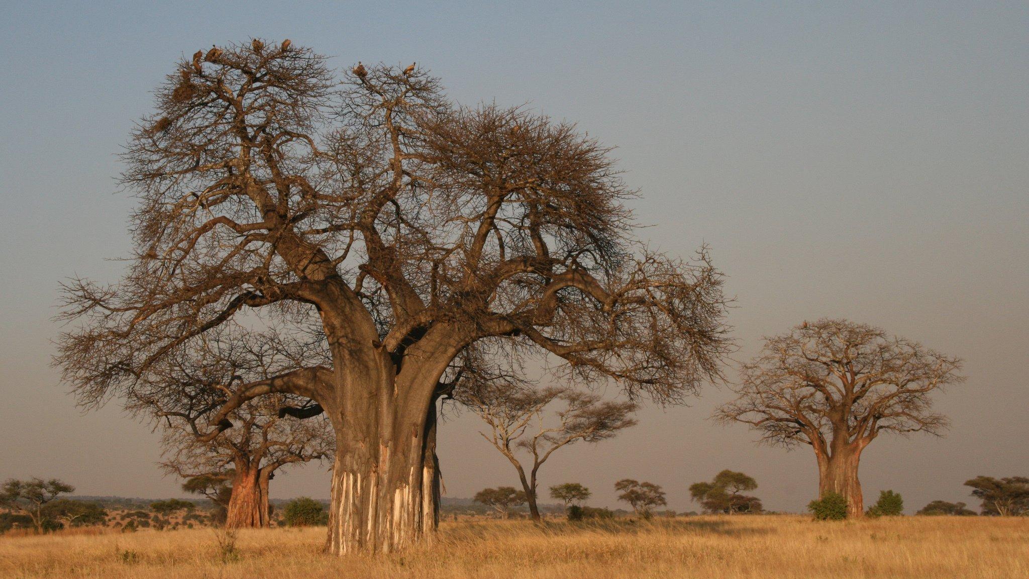 Das Foto zeigt die mächtigen Baobab-Bäume – auch Affenbrotbäume genannt – in der trockenen Savanne des Tarangire-Nationalparks in Tansansia. In einer ähnlichen Umgebung lebte vor gut zwei Millionen Jahre die Vormenschen-Art Australopithecus.