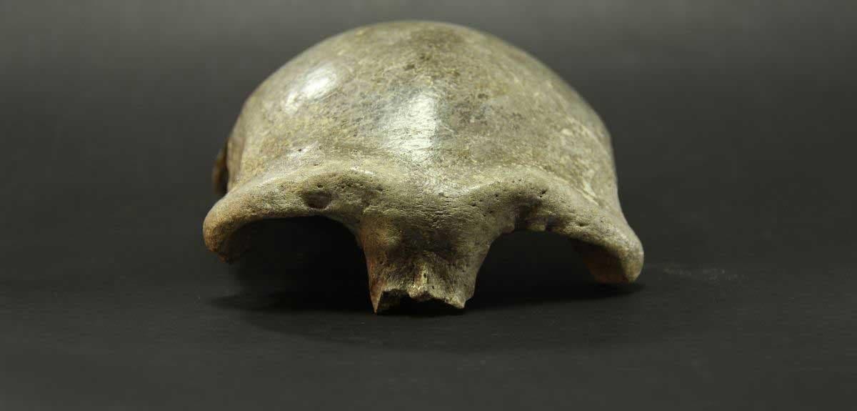 Das Foto zeigt die von vorne gesehene fossile Schädeldecke eines Menschen mit recht kräftigen Augenwülsten. Sie gehörte einst einer Homo-sapiens-Frau, deren Erbgut Anteile von Denisova-Urmenschen enthielt.