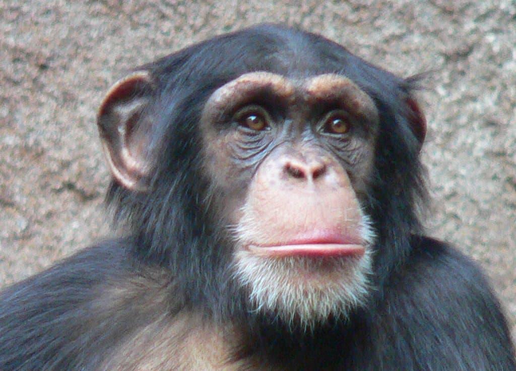 Hier ist der Kopf eines Schimpansen aus dem Zoo Leipzig zu sehen. Diese Affen sind die nächsten Verwandten des Menschen und sie verwenden bereits einfache Werkzeuge.Mit Steinen knacken sie etwa Nüsse oder mit Stöcken sammeln sie Ameisen. Wissenschaftler halten es daher für möglich, dass auch Vormenschen, deren Gehirn kaum größer war als das von Schimpansen, bereits Steinwerkzeuge nutzten.
