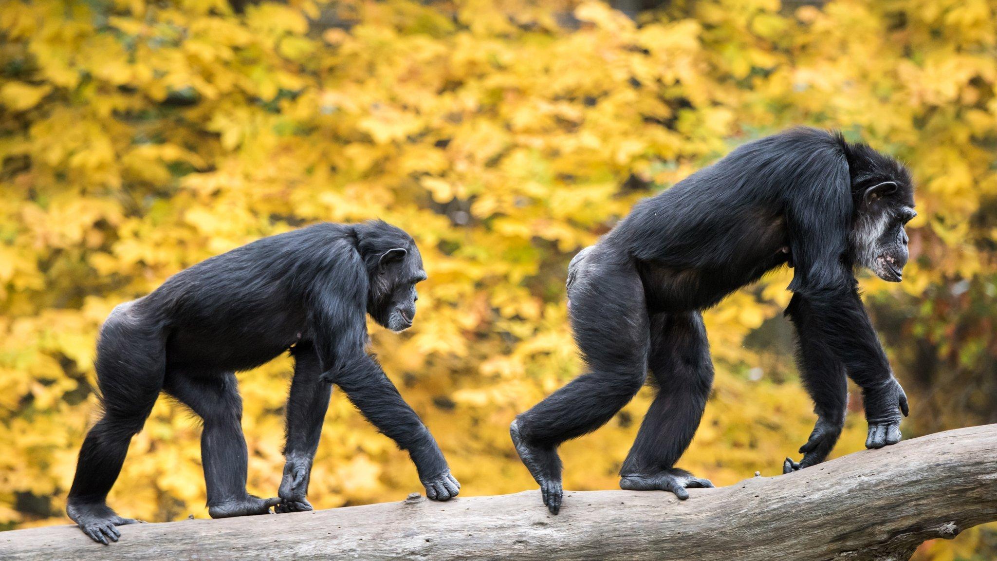 Das Foto zeigt zwei männliche Schimpansen, die vor gelbem Hintergrund auf einem dicken grauen Baumstamm laufen und dabei ihre Vorderbeine mit abgewinkelten Fingern – dem sogenannten Knöchelgang – aufsetzen. Schimpansen können nur kurze Strecken auf zwei Beinen zurücklegen. Einige der gemeinsamen Vorfahren von Schimpansen und Menschen aber entwickelten den aufrechten Gang – und wurden zu Urahnen des Homo sapiens.