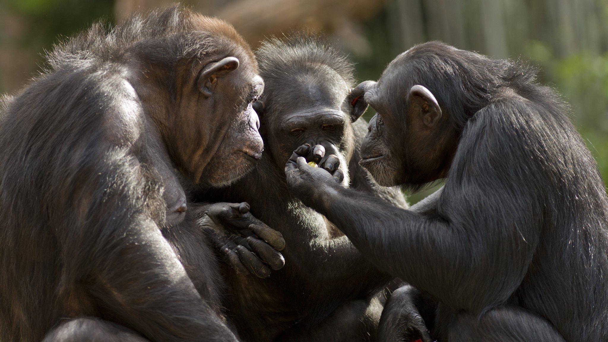 Zu sehen sind die Schultern und Köpfe von drei Schimpansen, die einander zugewandt sind und auf die erhobene, in der Mitte des Bildes zu sehende Hand des einen starren, die offenbar eine Frucht enthält. Schimpansen besitzen hochentwickelte soziale und geistige Fähigkeiten, ein großes Gehirn und Hände, die denen des Menschen sehr ähnlich sind. Vor vielen Jahrmillionen wurden die Affen zum Ausgangspunkt für die Evolution des Homo sapiens.