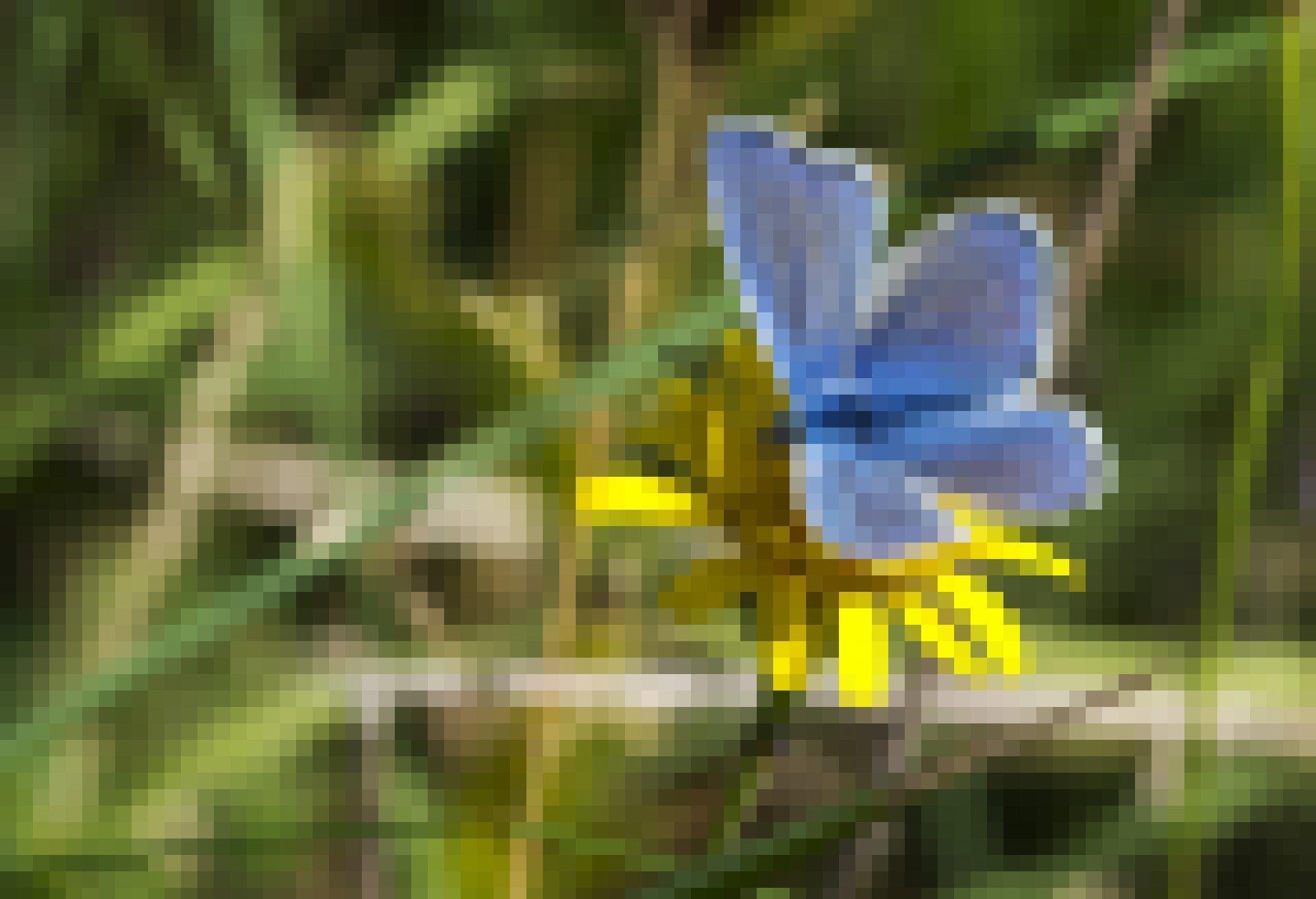 Blauer Schmetterling auf gelber Blume