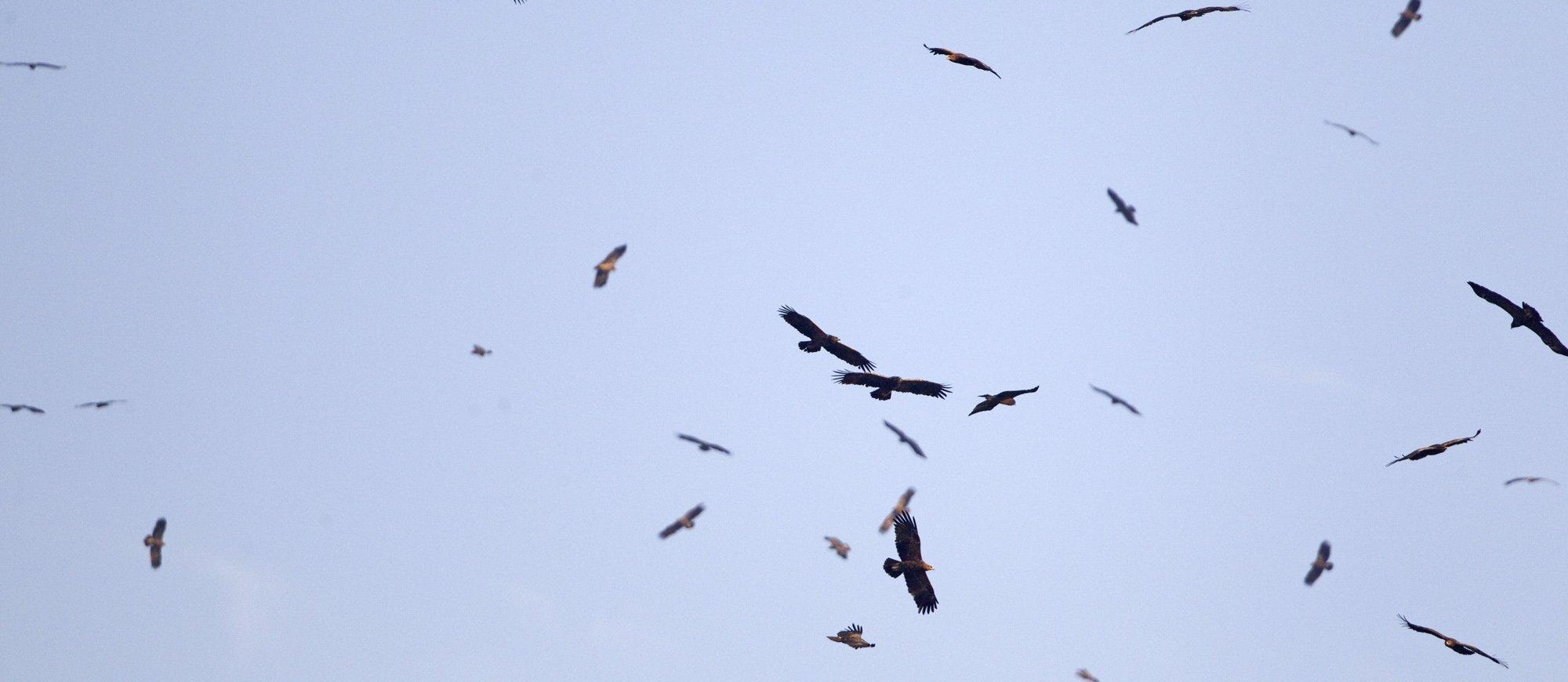 Schreiadler kreisen in der Gruppe am Himmel