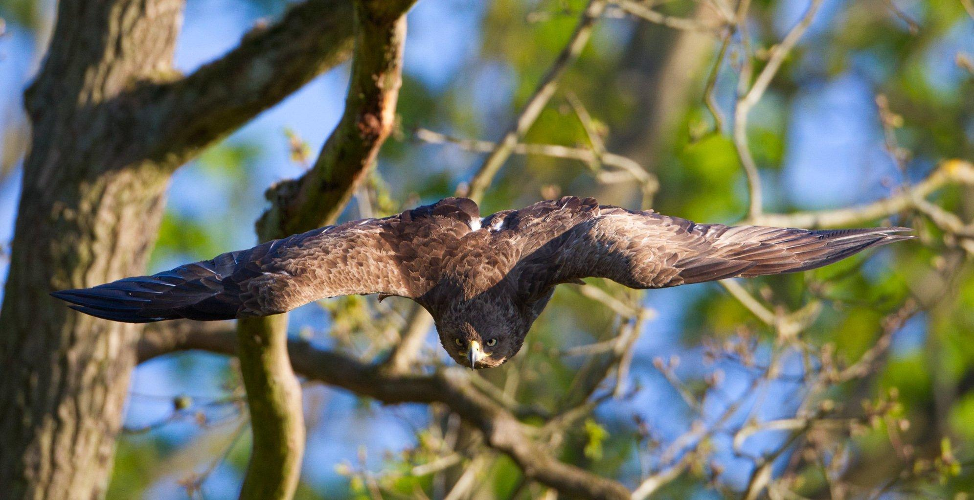 Ein großer brauner Greifvogel fliegt mit weit ausgebreiteten Schwingen auf den Betrachter zu. Im Hintergrund Äste.