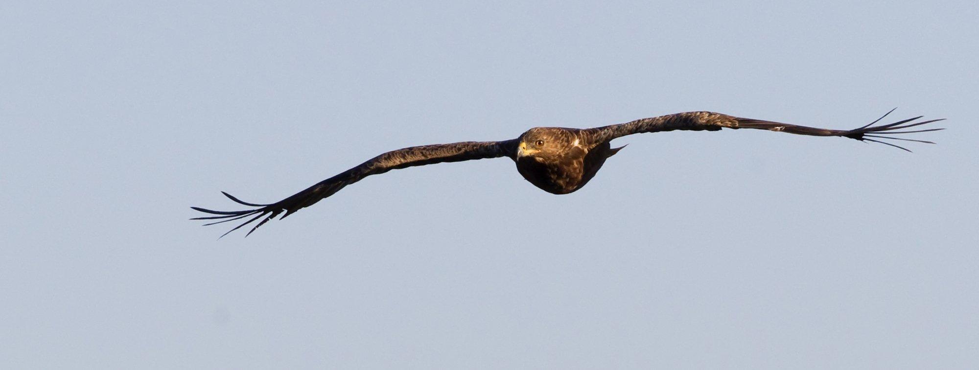 Ein Schreiadler fliegt frontal auf den Fotografen zu