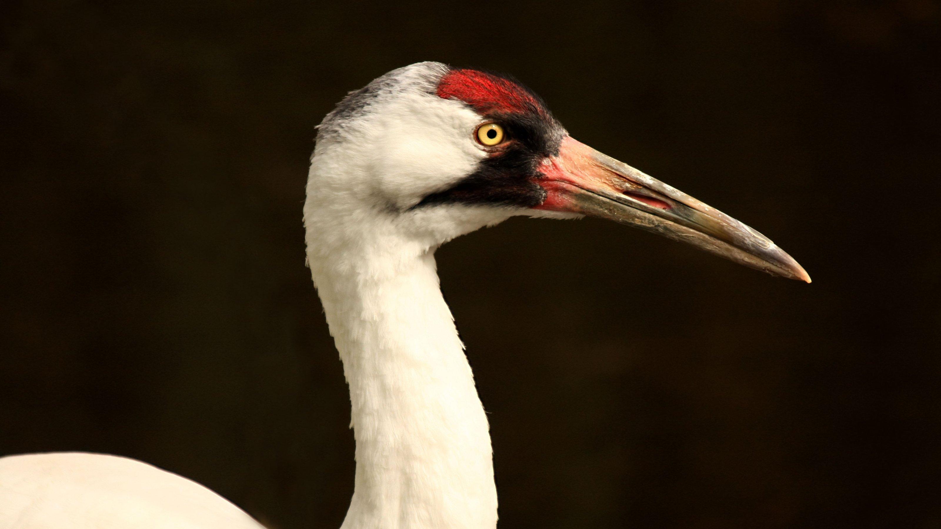 Die Nahaufnahme zeigt den Vogel von der Seite. Er hat einen S-förmigen Hals und einen sehr langen Schnabel.