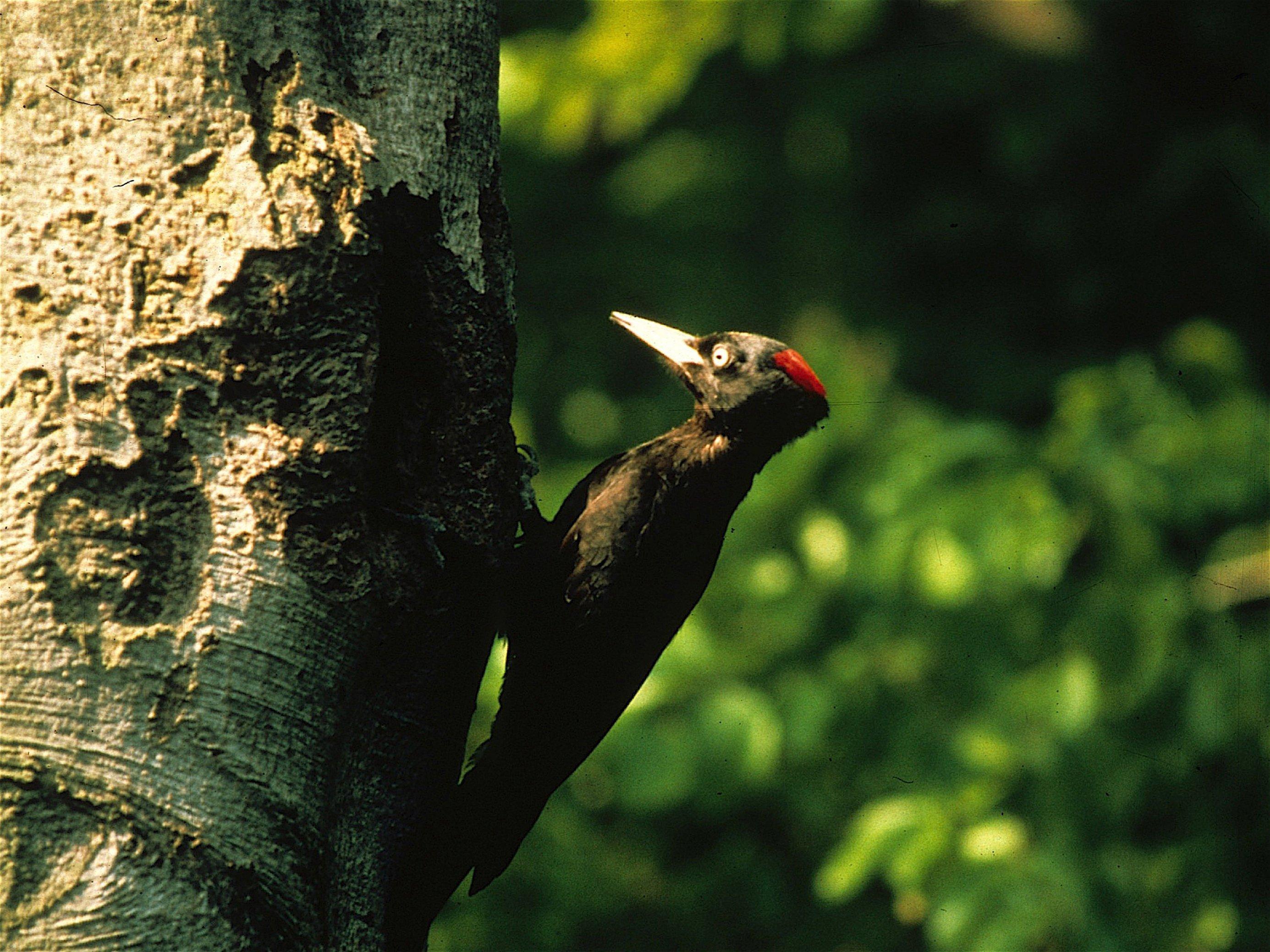 Ein Schwarzspecht sitzt an einem Baum, gleich wird sein Ruf within ertönen – zumindest lässt das Bild dies erahnen.