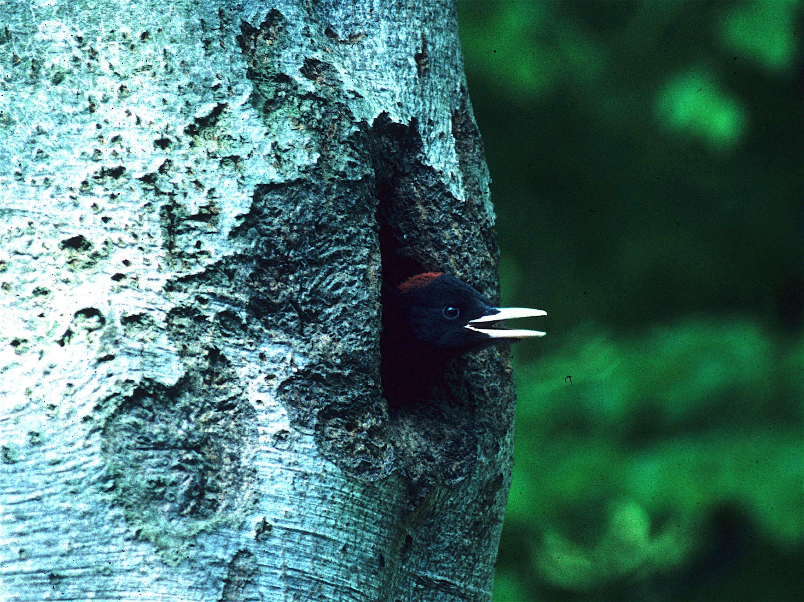 Schwarzspecht-Jungvogel guckt aus Baumhöhle heraus.