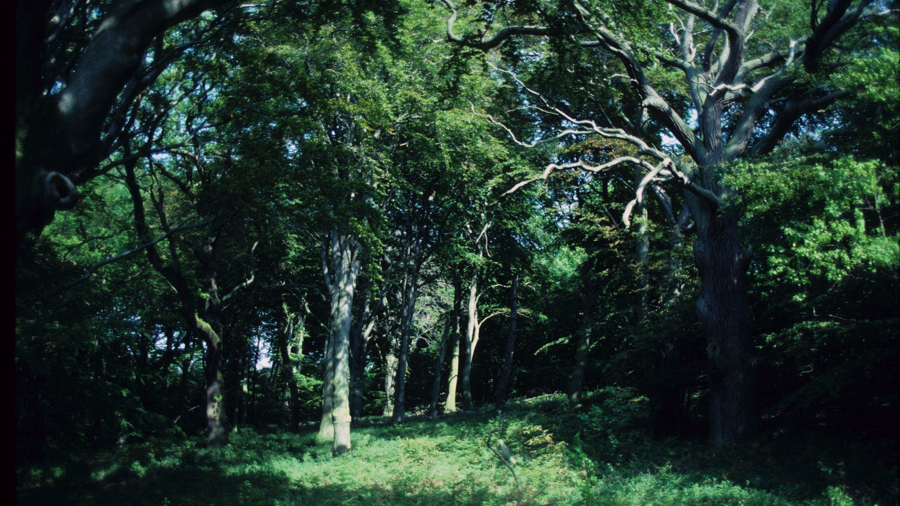 Der Wald besteht aus großen alten Bäumen.