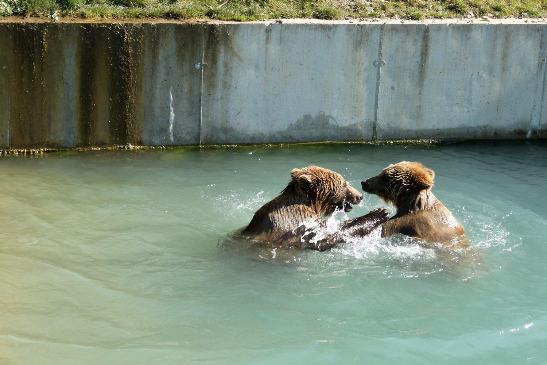 Zwei Bären baden im Fluss.