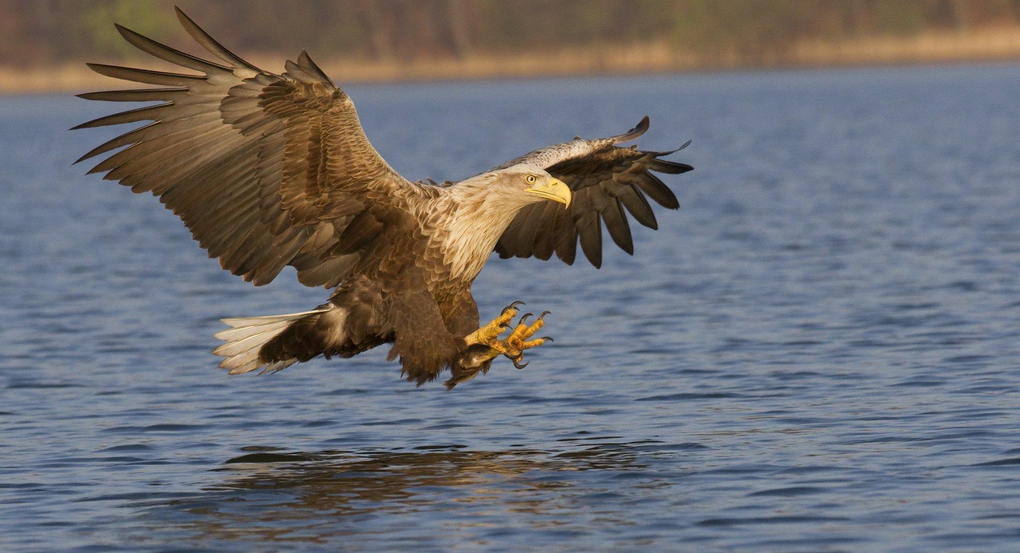 Ein Seeadler stößt mit nach vorne gestreckten Beinen auf die Wasseroberfläche eines Sees herab, um einen Fisch zu erbeuten